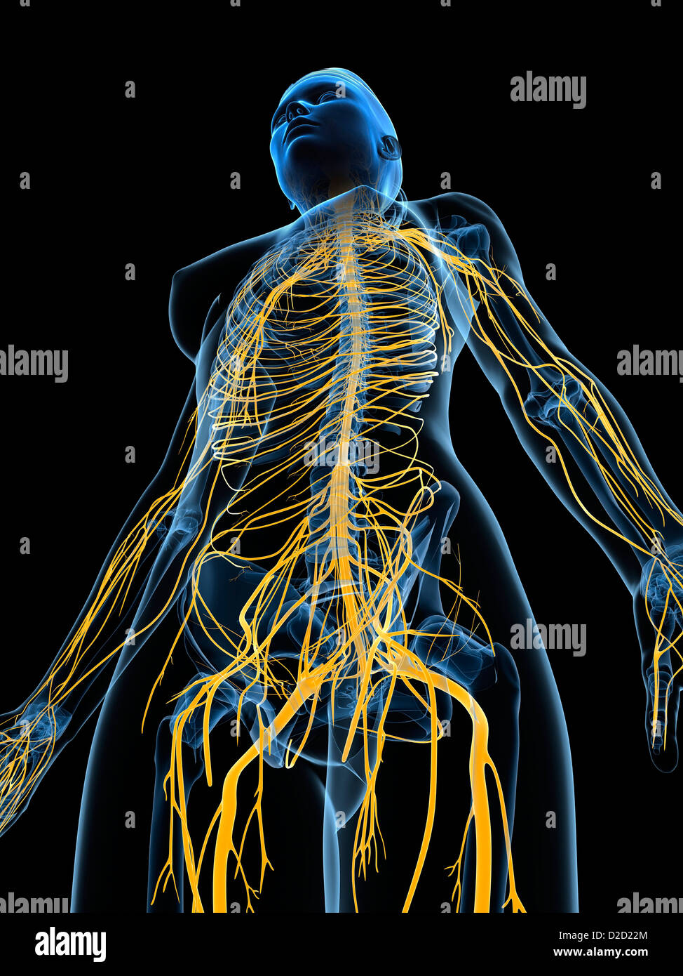 Female nervous system computer artwork - Stock Image