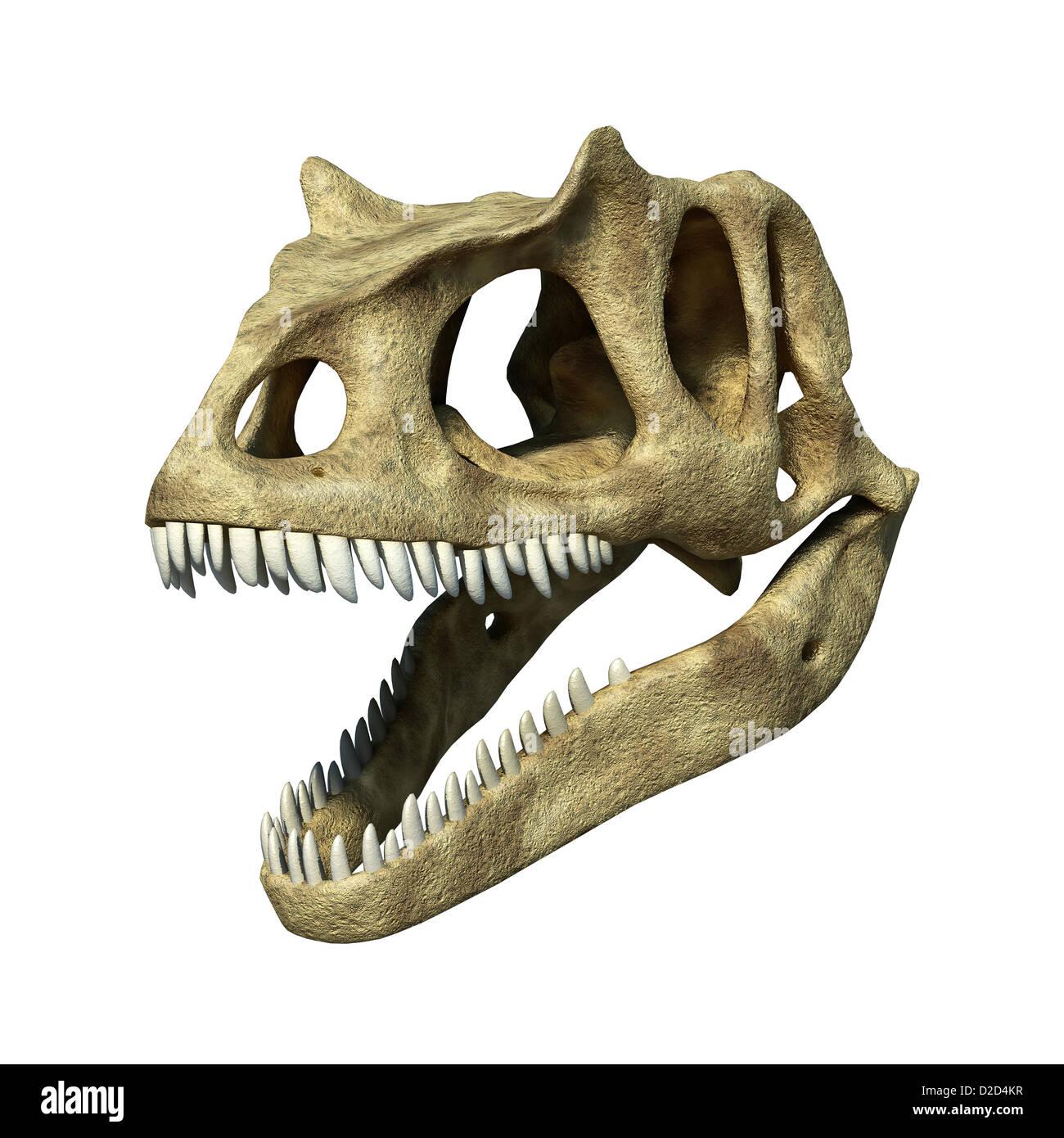 Allosaurus dinosaur skull Allosaurs large carnivorous reptiles late Jurassic period 155 to 145 million years ago - Stock Image