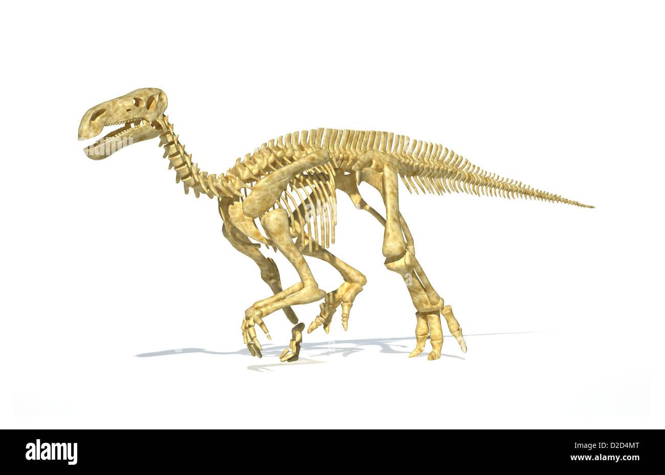 Iguanodon dinosaur skeleton lived in large herds - Stock Image