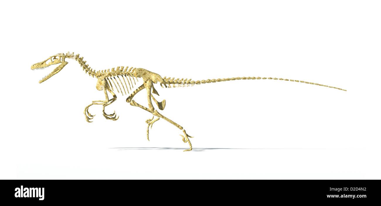 Velociraptor dinosaur skeleton bird-like feathered carnivore - Stock Image