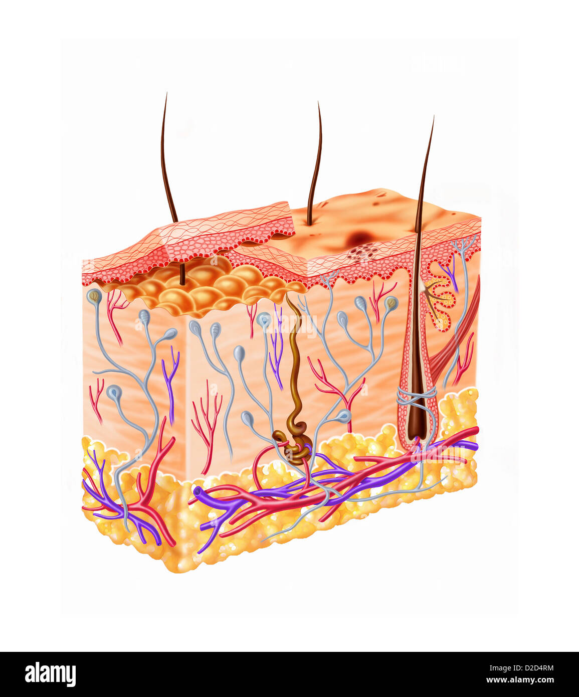 Human Hair Follicle Stock Photos & Human Hair Follicle Stock Images ...