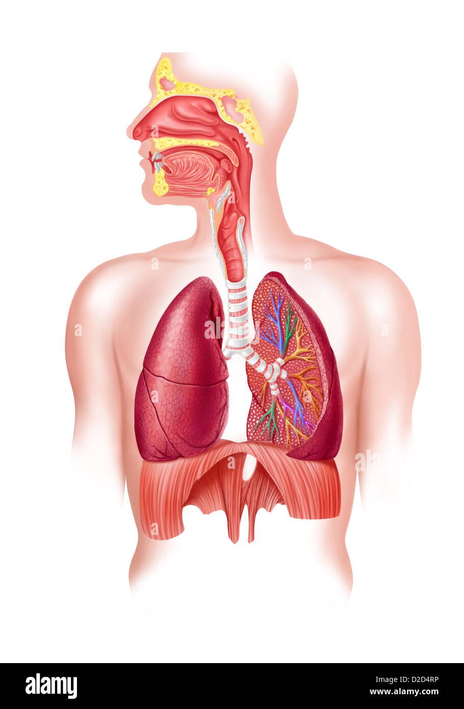 Human respiratory system artwork - Stock Image