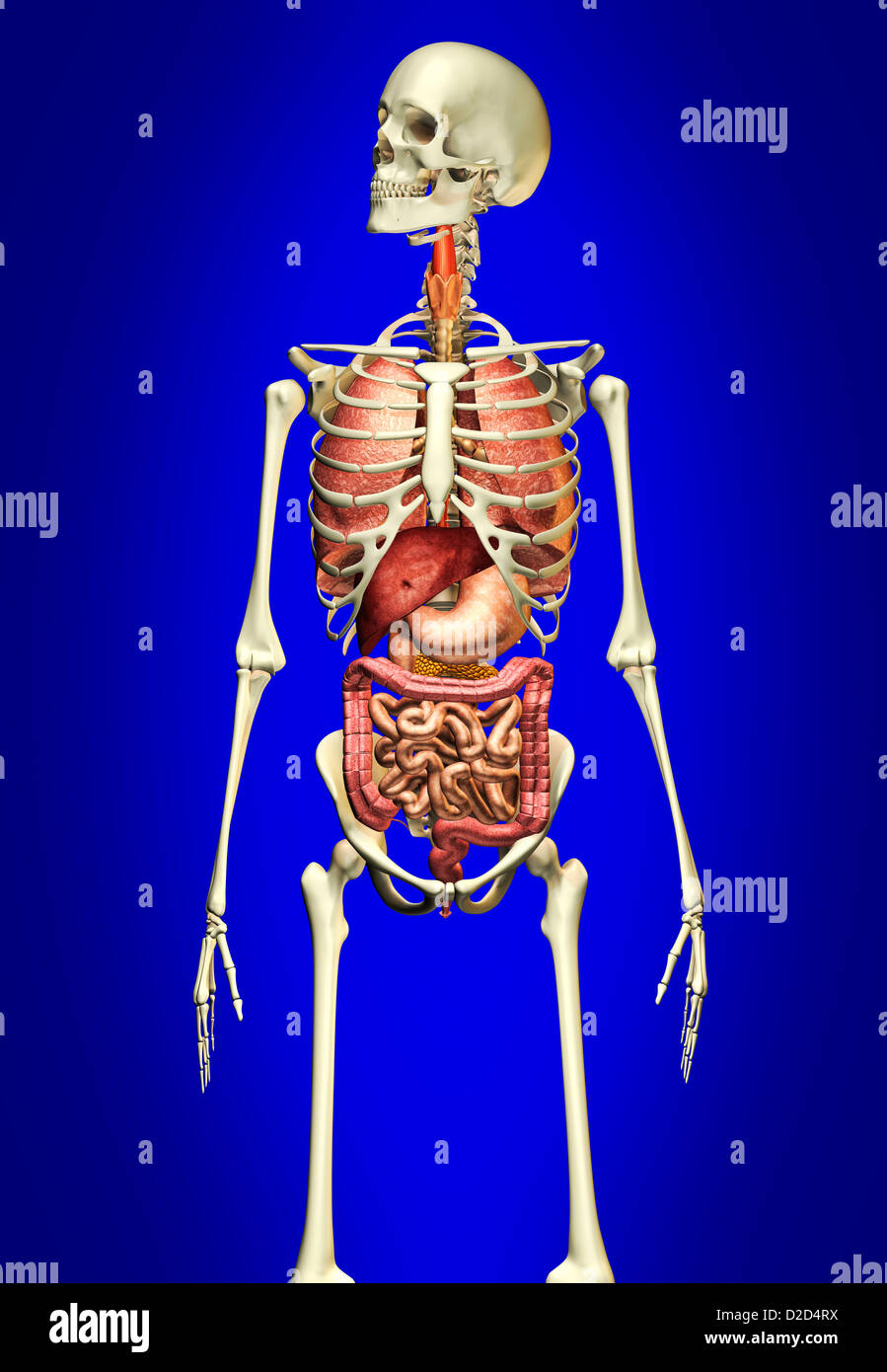 Human anatomy computer artwork - Stock Image