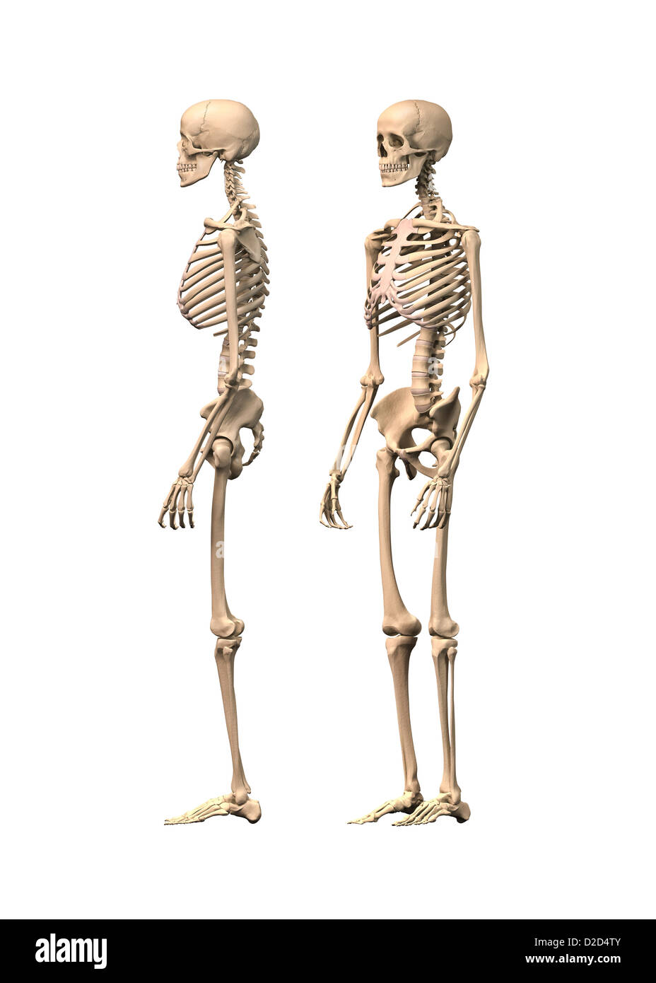 Human skeleton computer artwork - Stock Image