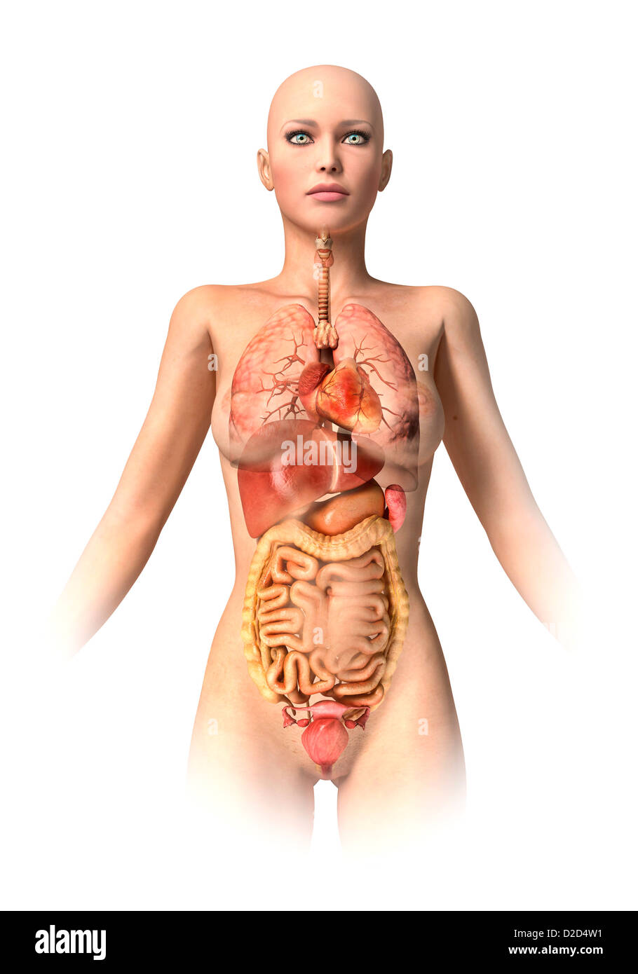 Female Anatomy Stock Photos Female Anatomy Stock Images Alamy