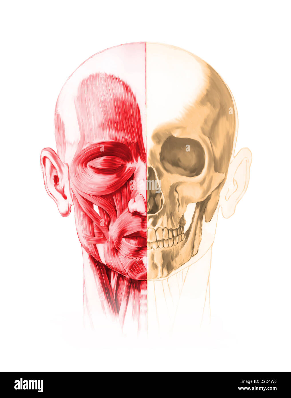 Facial Muscle Stock Photos & Facial Muscle Stock Images - Alamy