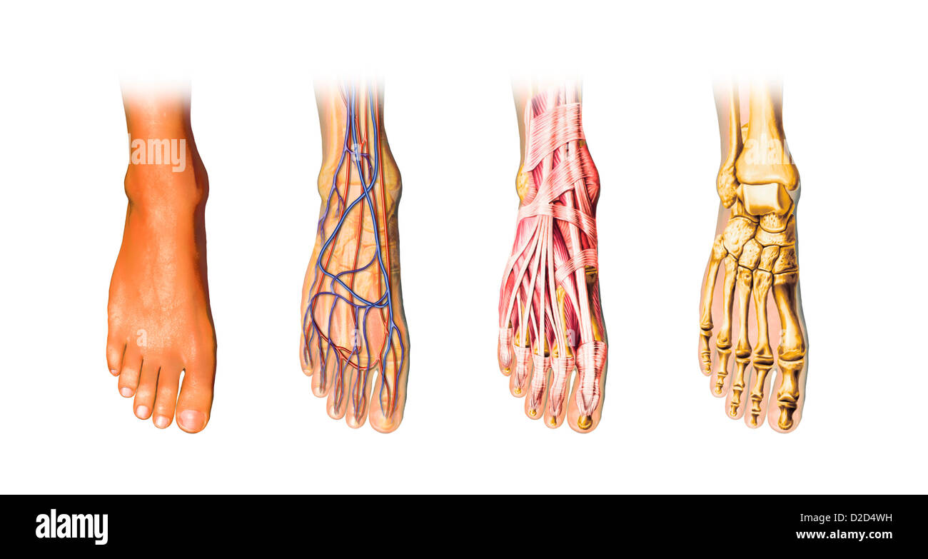 Human foot anatomy computer artwork - Stock Image