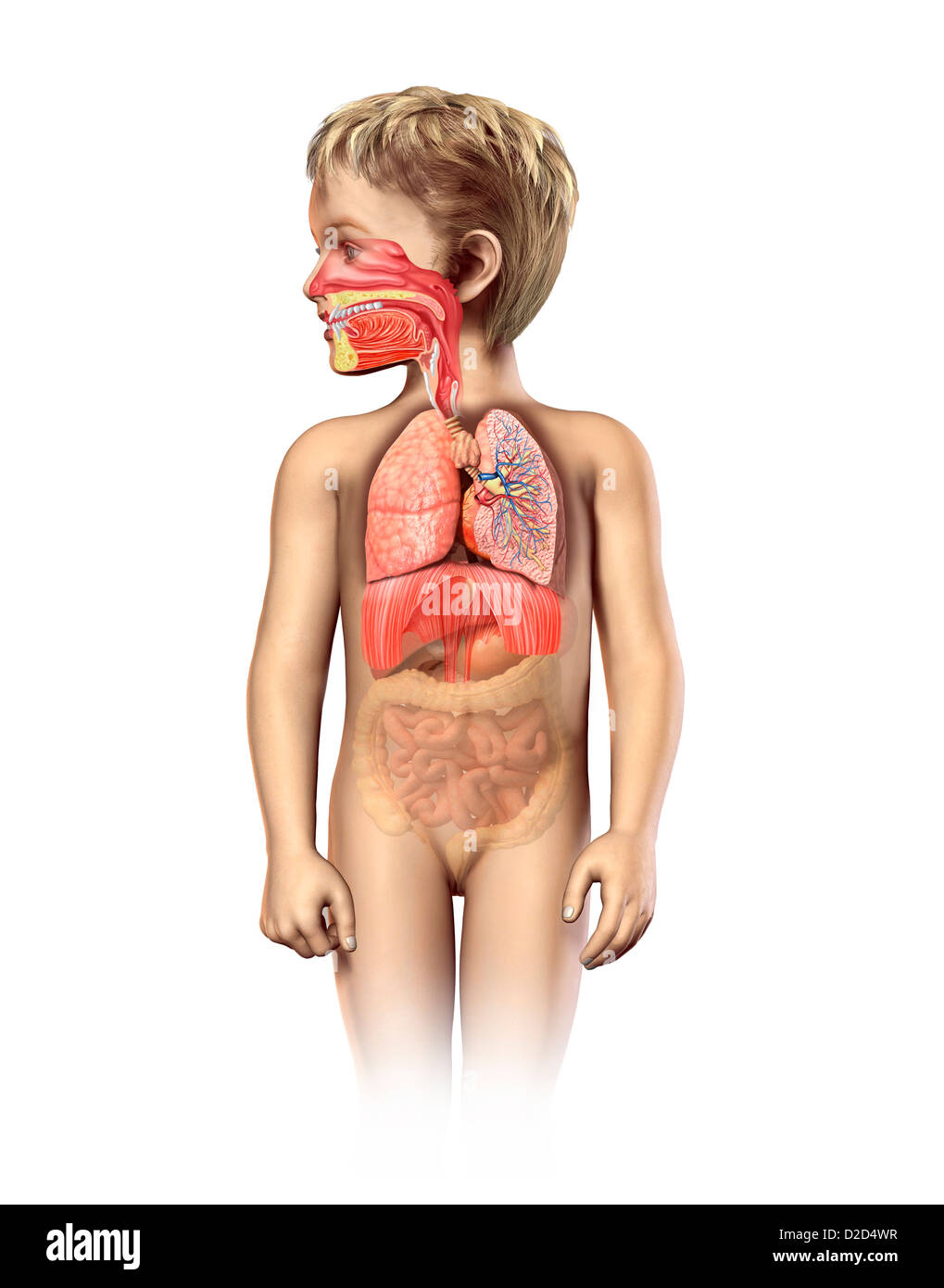Child's respiratory system computer artwork - Stock Image