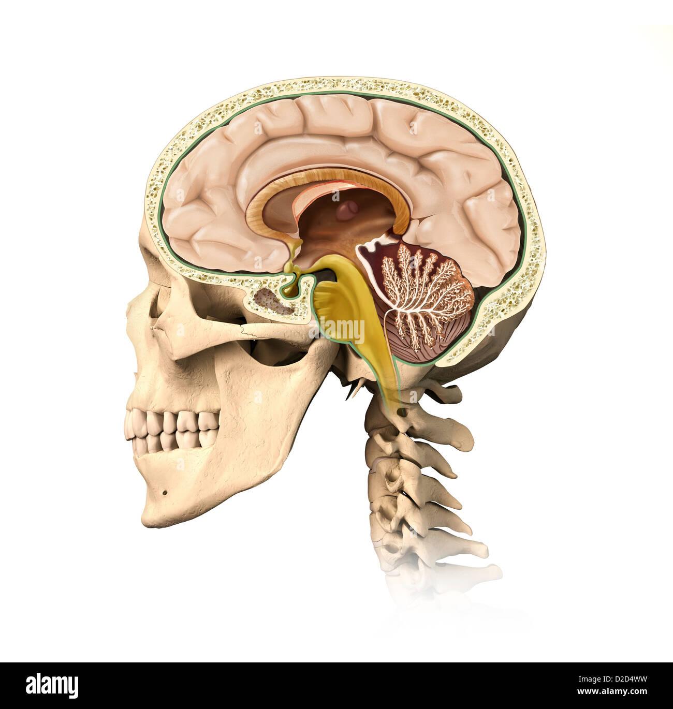 Anatomy Human Brain Side View Stock Photos & Anatomy Human Brain ...