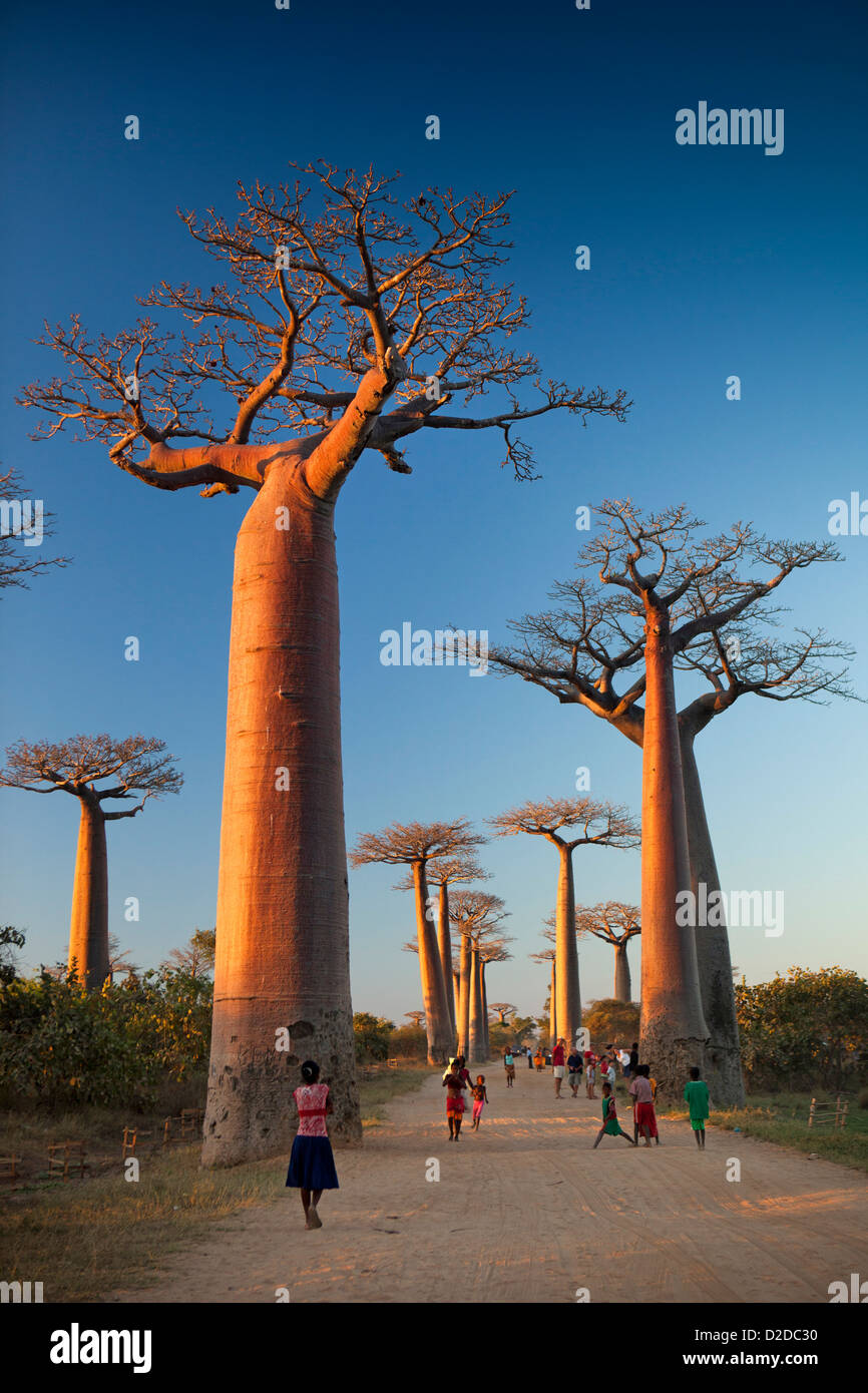 Madagascar, Morondava, Avenue of baobabs, Allee des Baobabs, at sunset - Stock Image