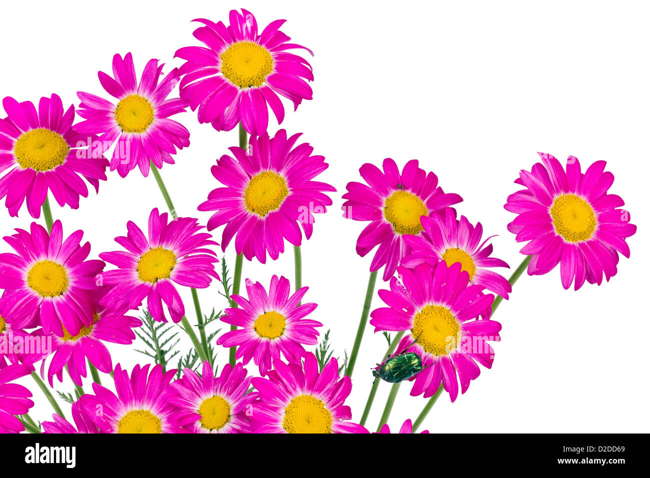 Spring Pink Daisies Flowers Border With Green Bug Isolated Stock