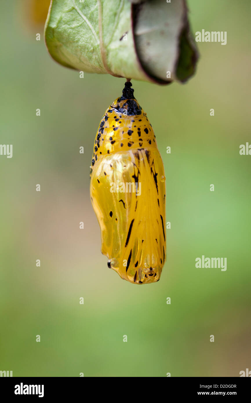 Gold coloured chrysalis of a Paper Kite Butterfly, Idea leuconoe, attached to a leaf. - Stock Image
