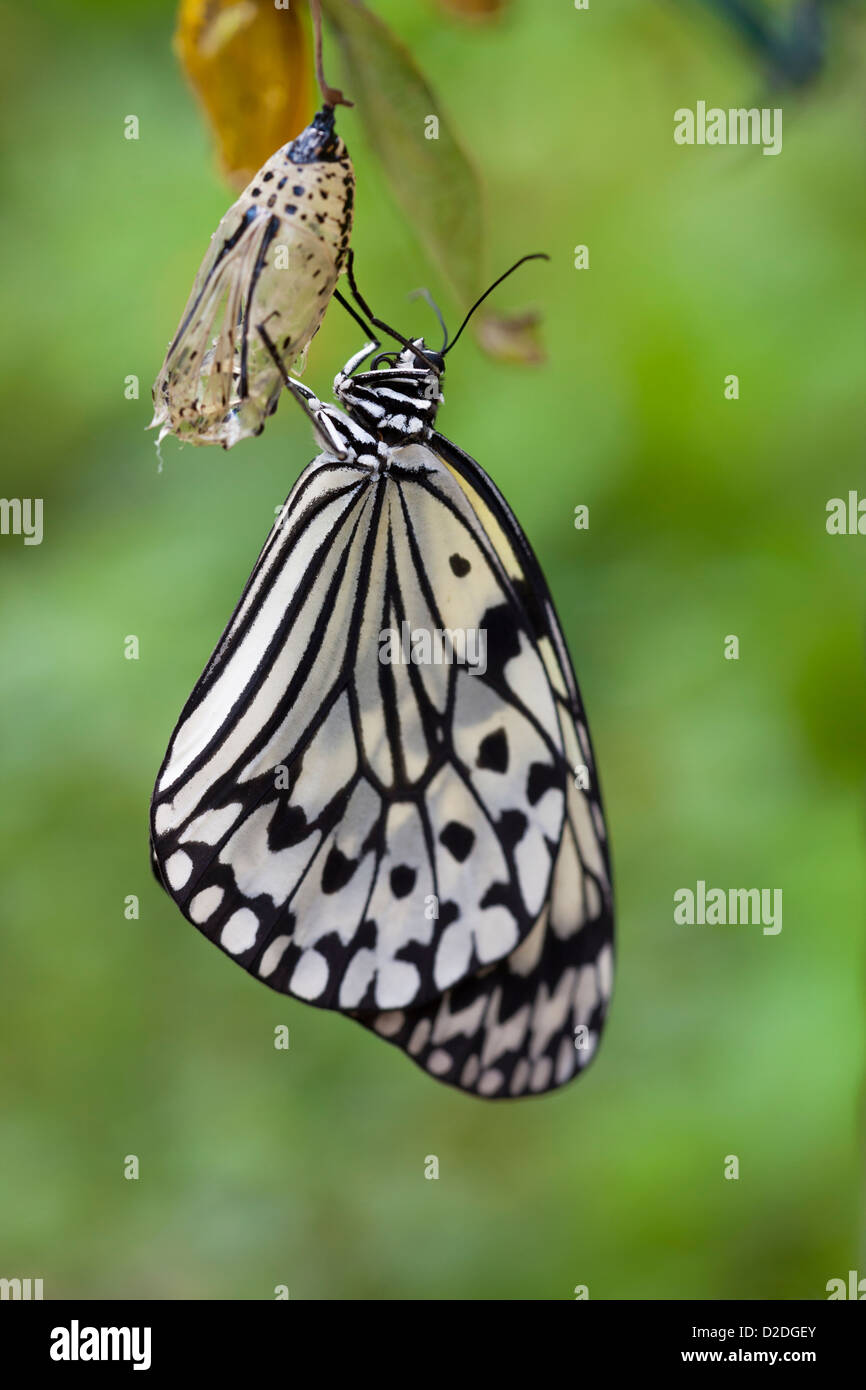 Idea leuconoe, also know as Paper Kite Butterfly, which has just completed metamorphosis and sits on it's empty - Stock Image