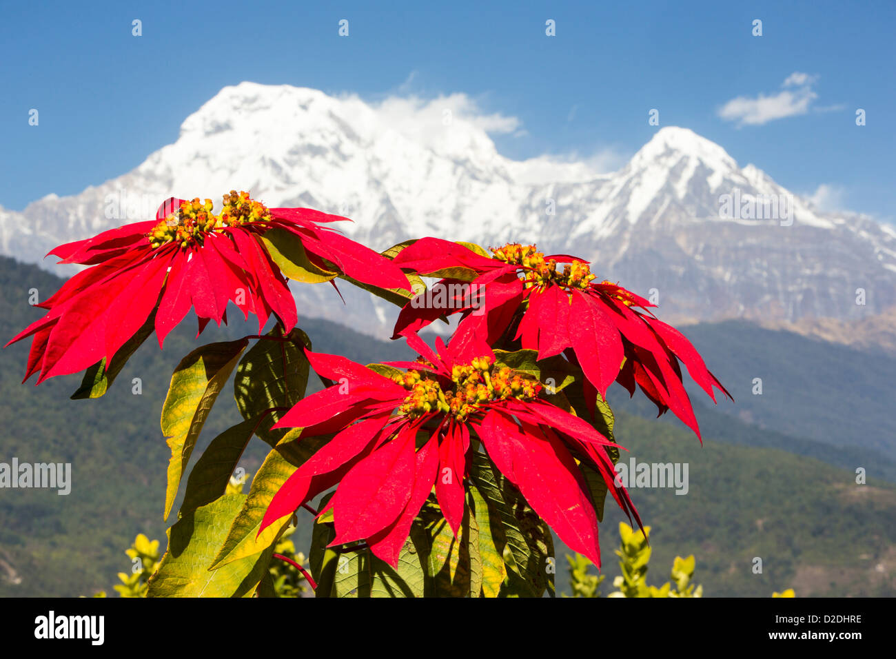 Poinsettia trees flowering in the Himalayas near Pokhara, Nepal, with Annapurna South in the background. - Stock Image