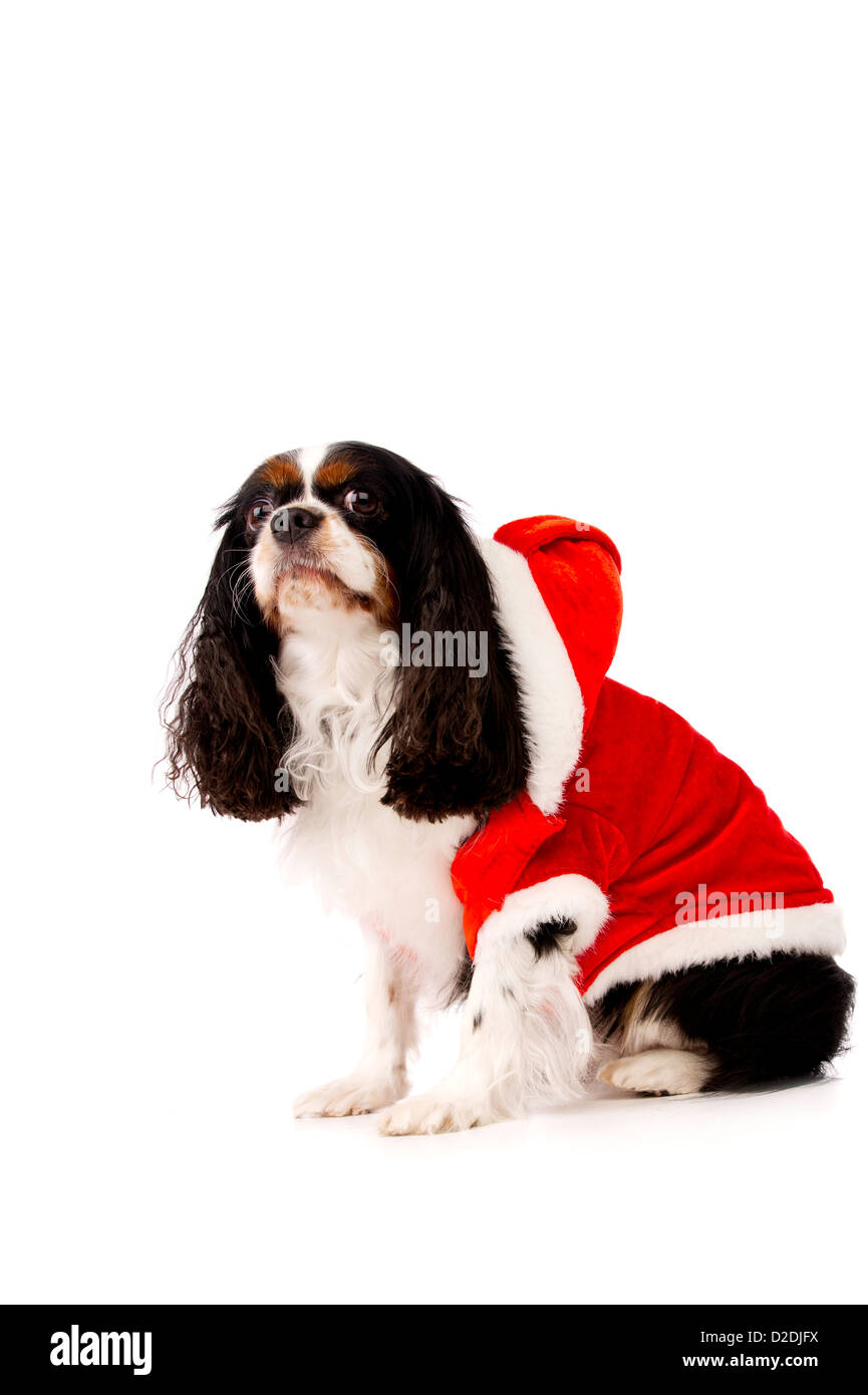 King Charles Spaniel Dog Wearing a Red Christmas Santa Hat - Stock Image 747fd0daa8