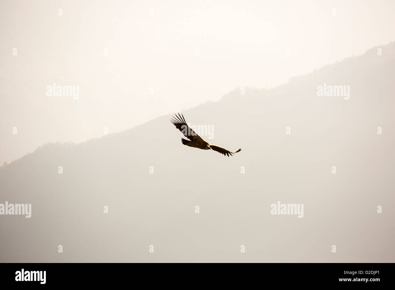 A Griffon Vulture, (Gyps fulvus) circling over the Himalayan mountains, Nepal. - Stock Image