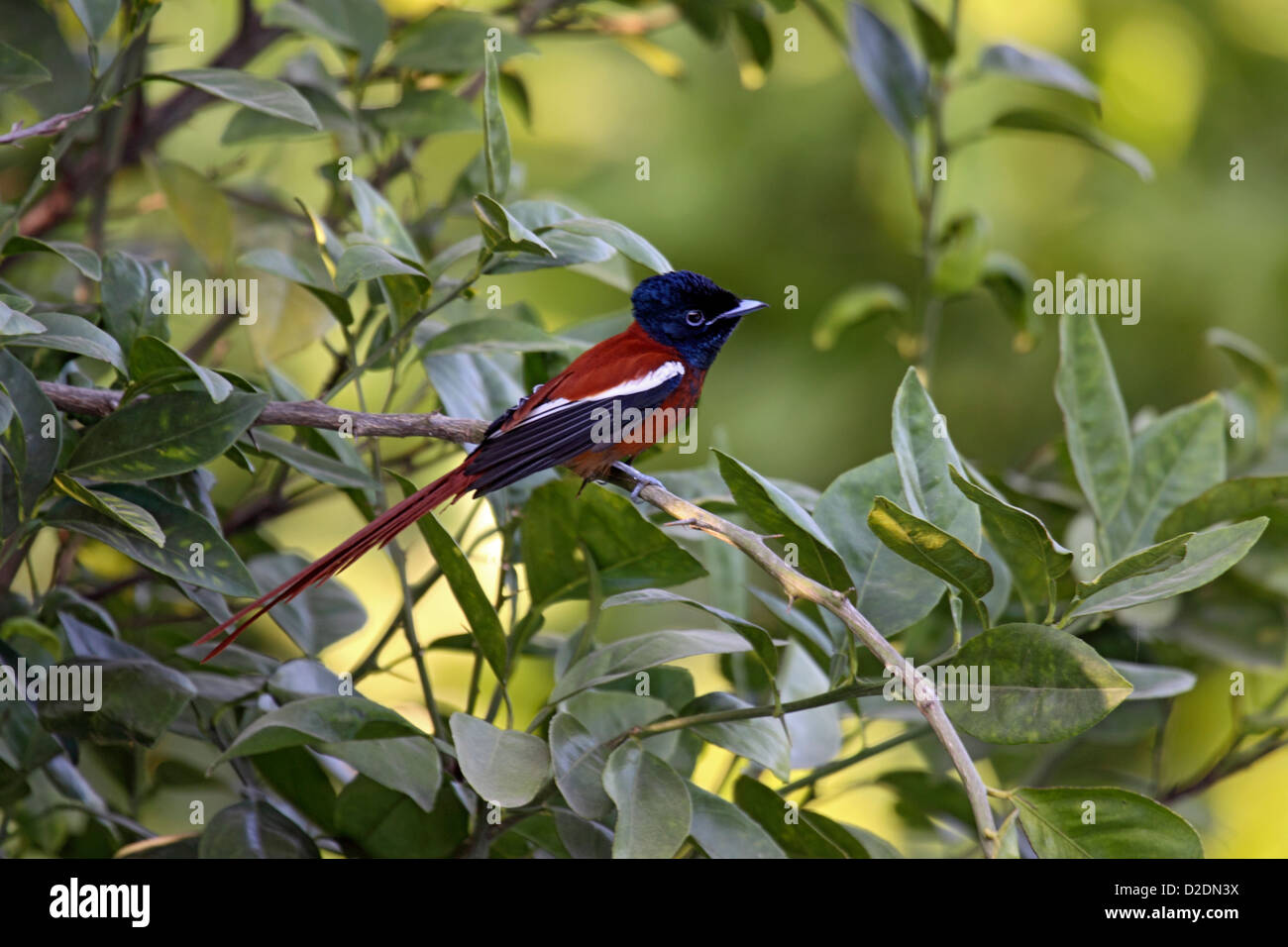 Hybrid paradise flycatcher in tree in The Gambia Stock Photo