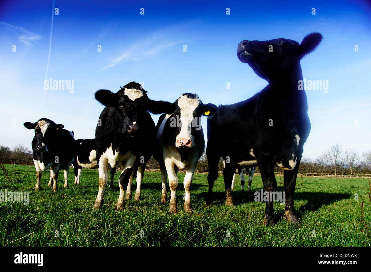 Fresian Dairy cows grazing in a field on the north downs at Upper Gatton, near Reigate, Surrey - Stock Image