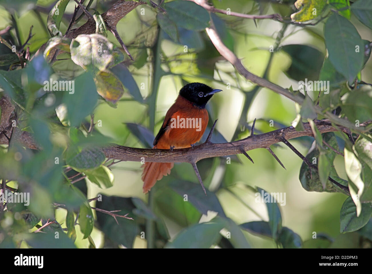 Red bellied paradise flycatcher in The gambia Stock Photo