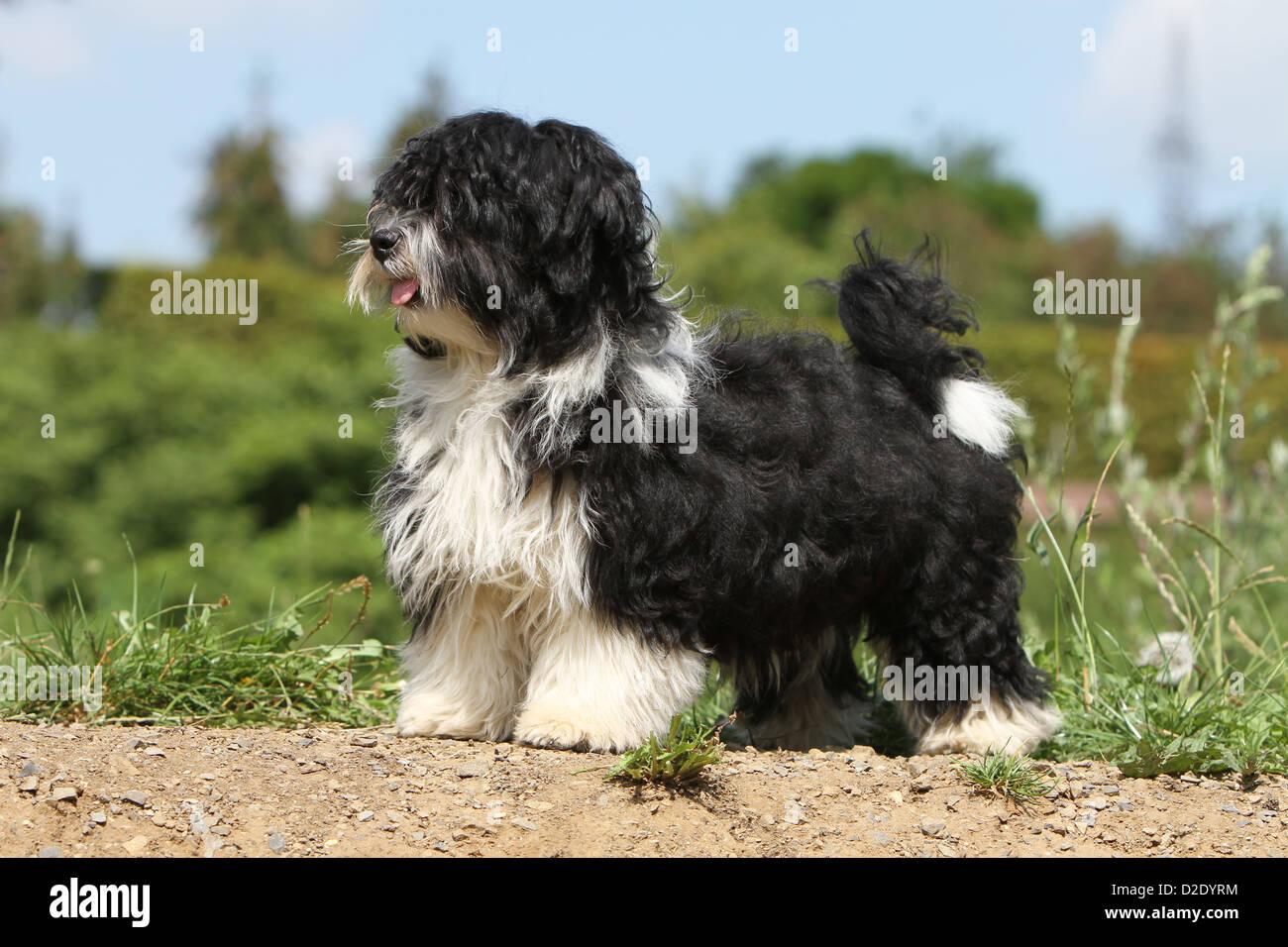 Dog Havanese Bichon Havanais Havaneser Puppy Black And White Stock Photo Alamy
