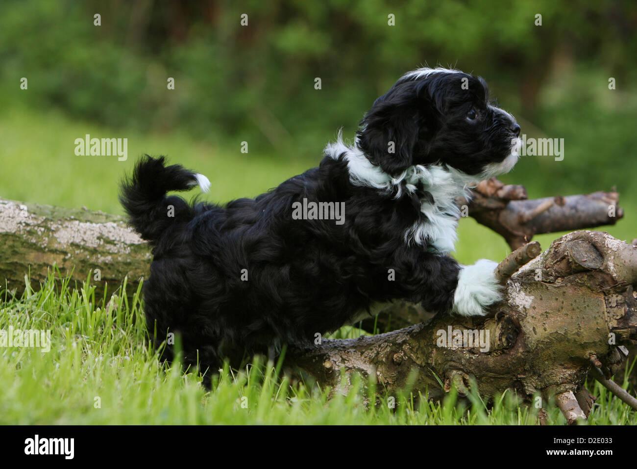 Dog Havanese / Bichon Havanais / Havaneser puppy (black