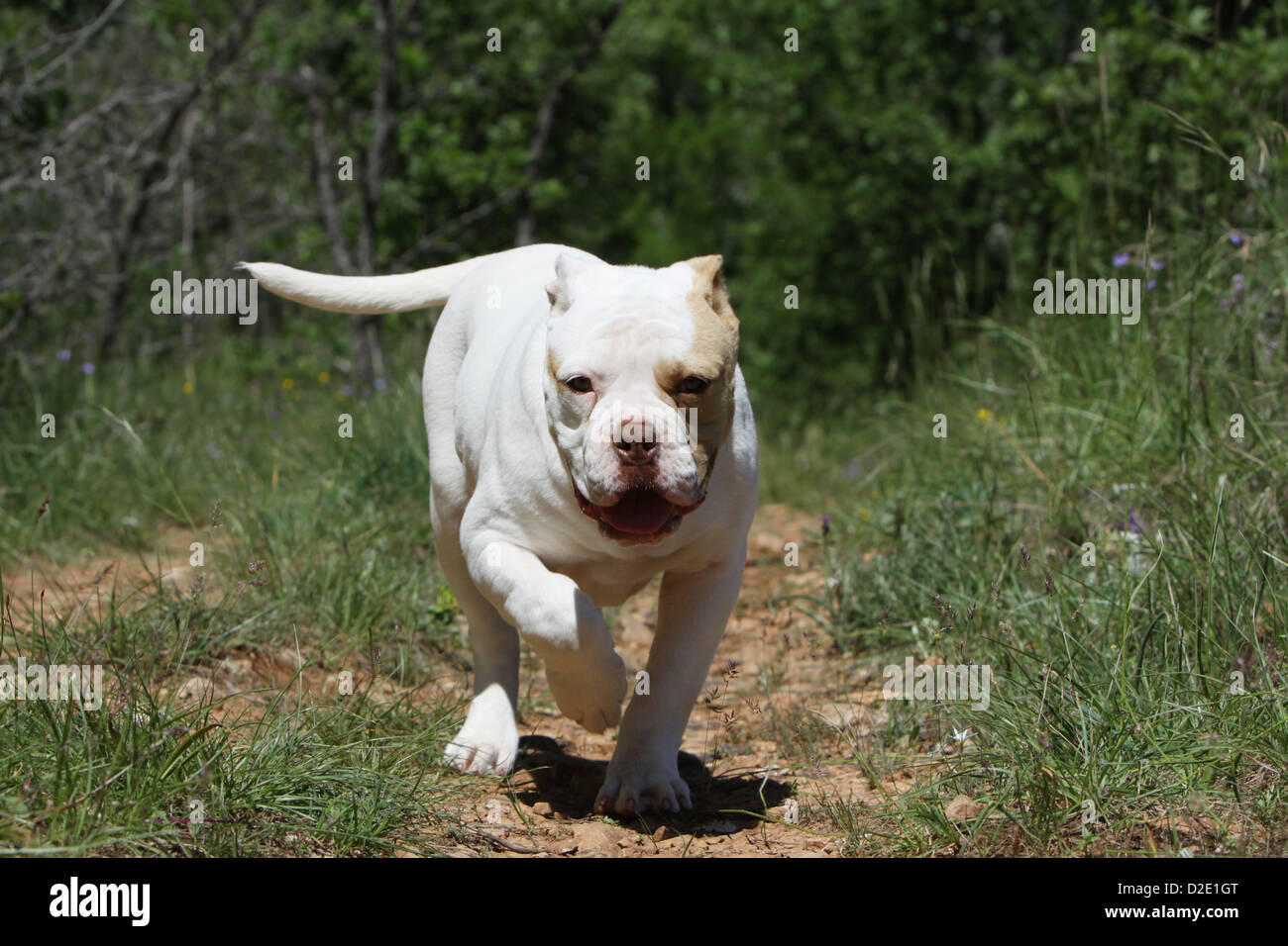 Dog American Bulldog Bully Puppy Running Stock Photo 53169000 Alamy