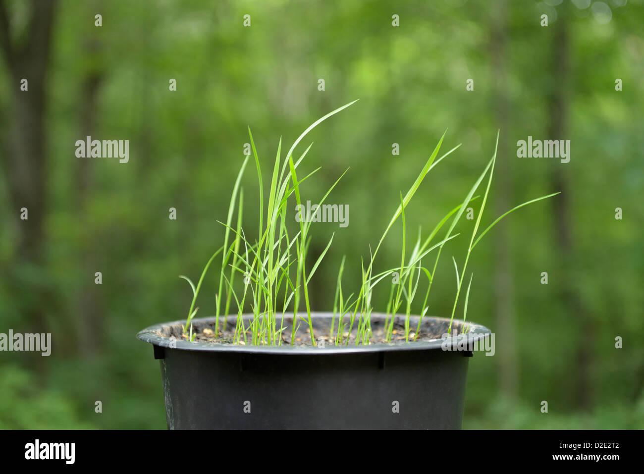 Rice seedlings.  Japanese Koshihkan variety, Oryza sativa - Stock Image