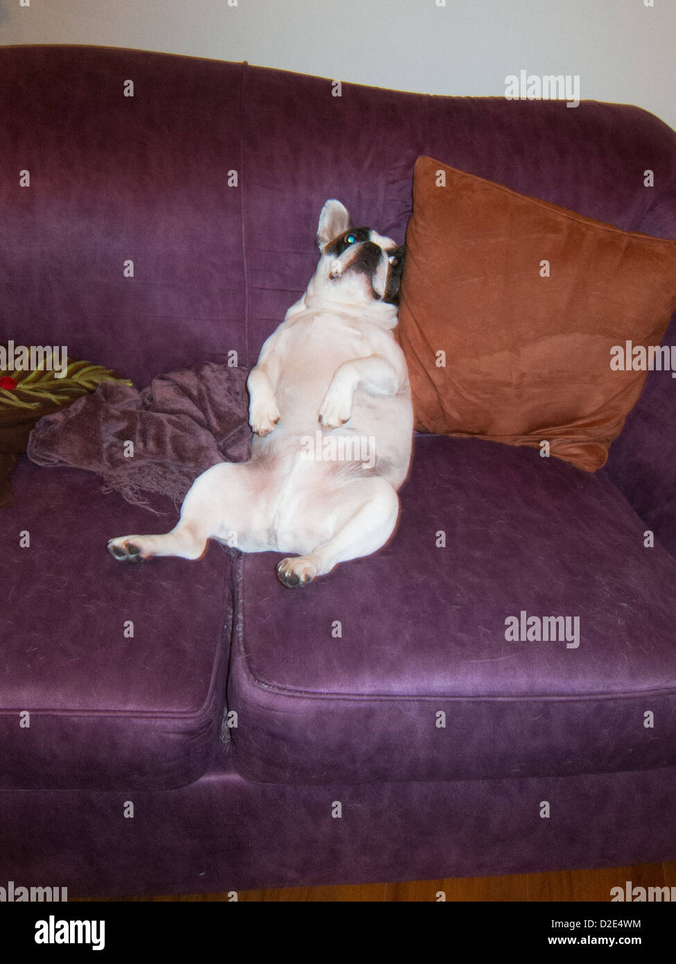 French Bulldog relaxing like a human on sofa. - Stock Image
