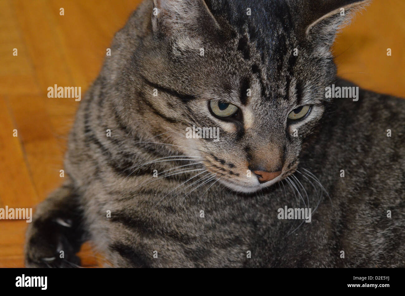 cat with claw ready - Stock Image
