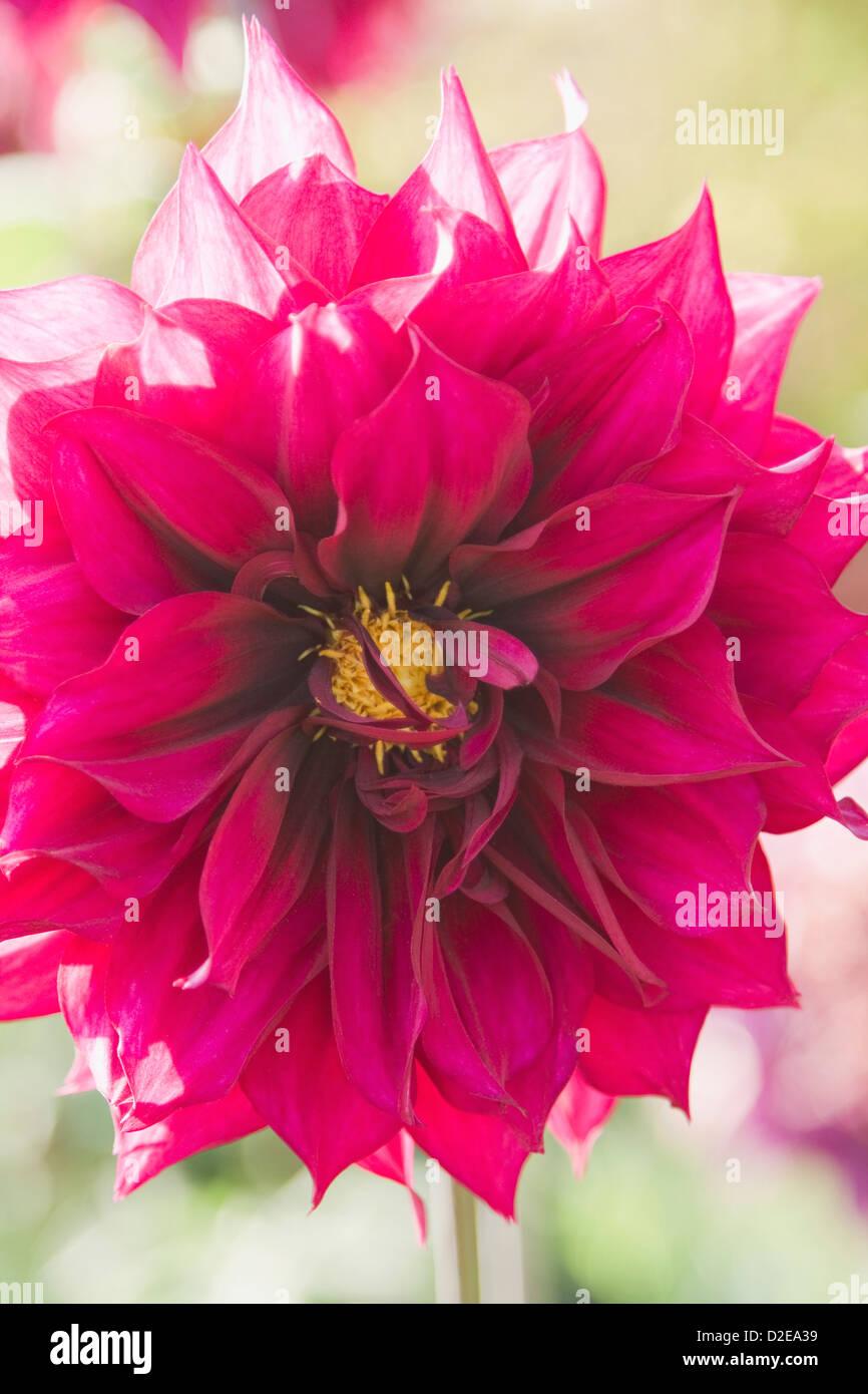 India dahlia flower stock photos india dahlia flower stock images close up of a dahlia flower gwalior madhya pradesh india stock izmirmasajfo