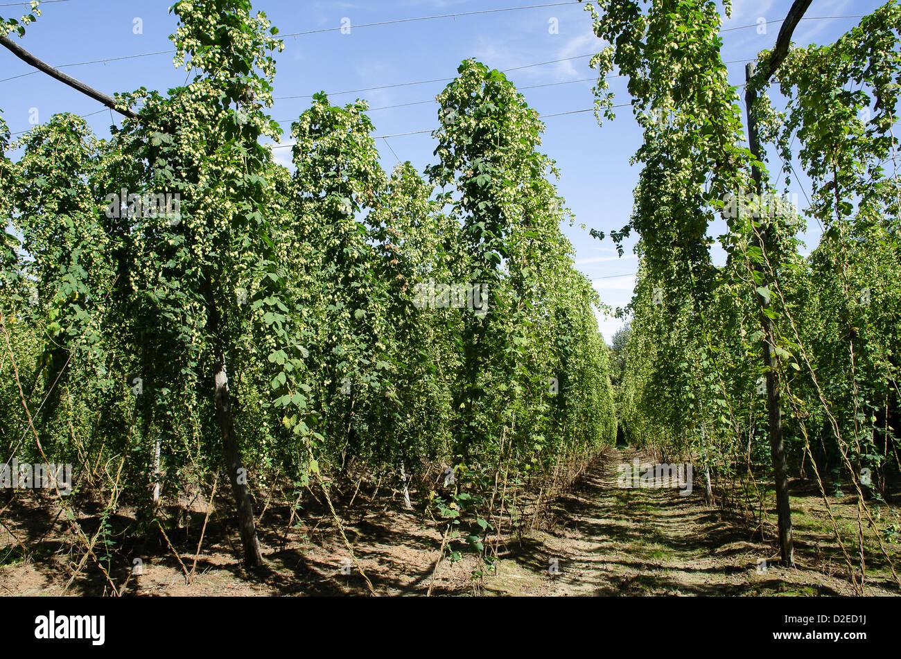 A hop garden in Kent - Stock Image