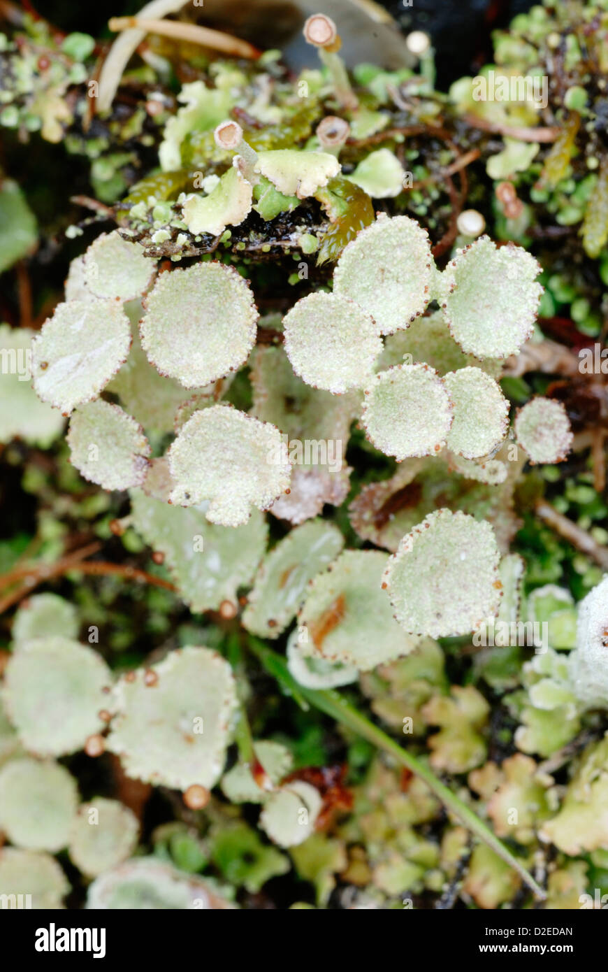 Cladonia pyxidata, Cup Lichen with fruiting bodies, Wales. - Stock Image