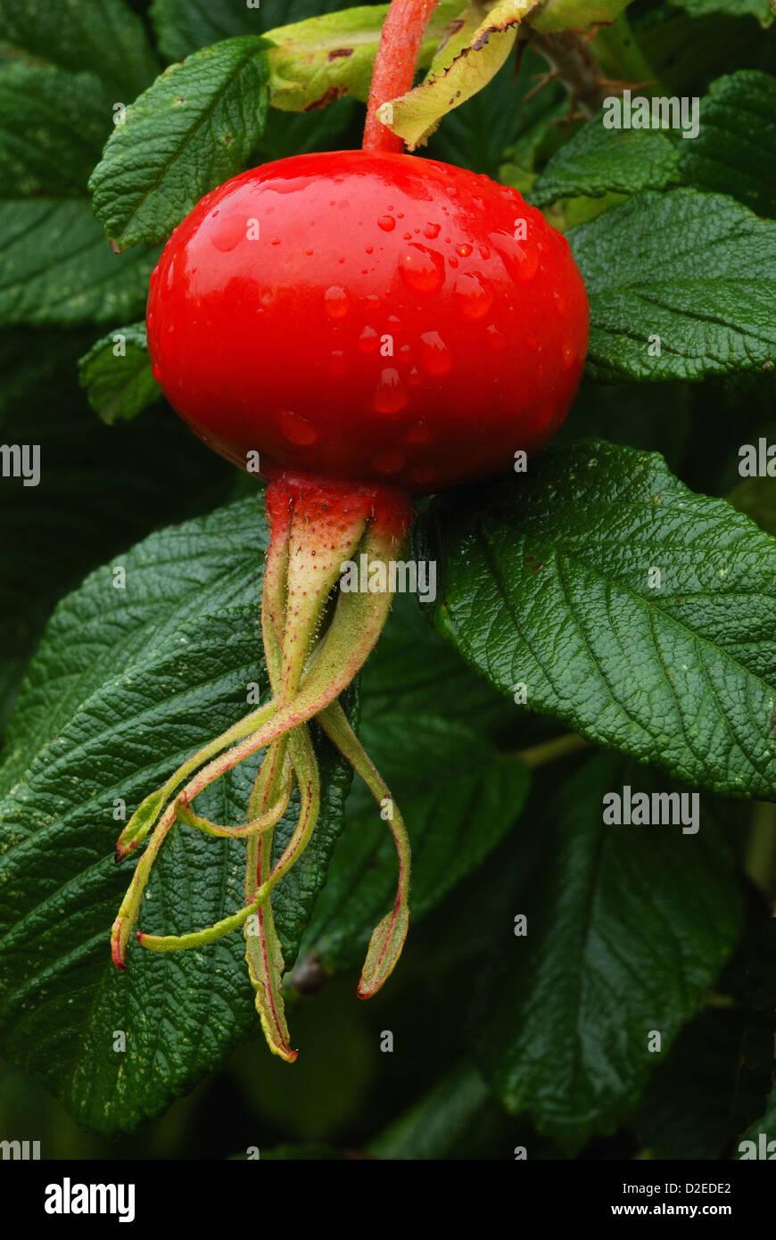 Rose hip of rosa rugosa - Stock Image
