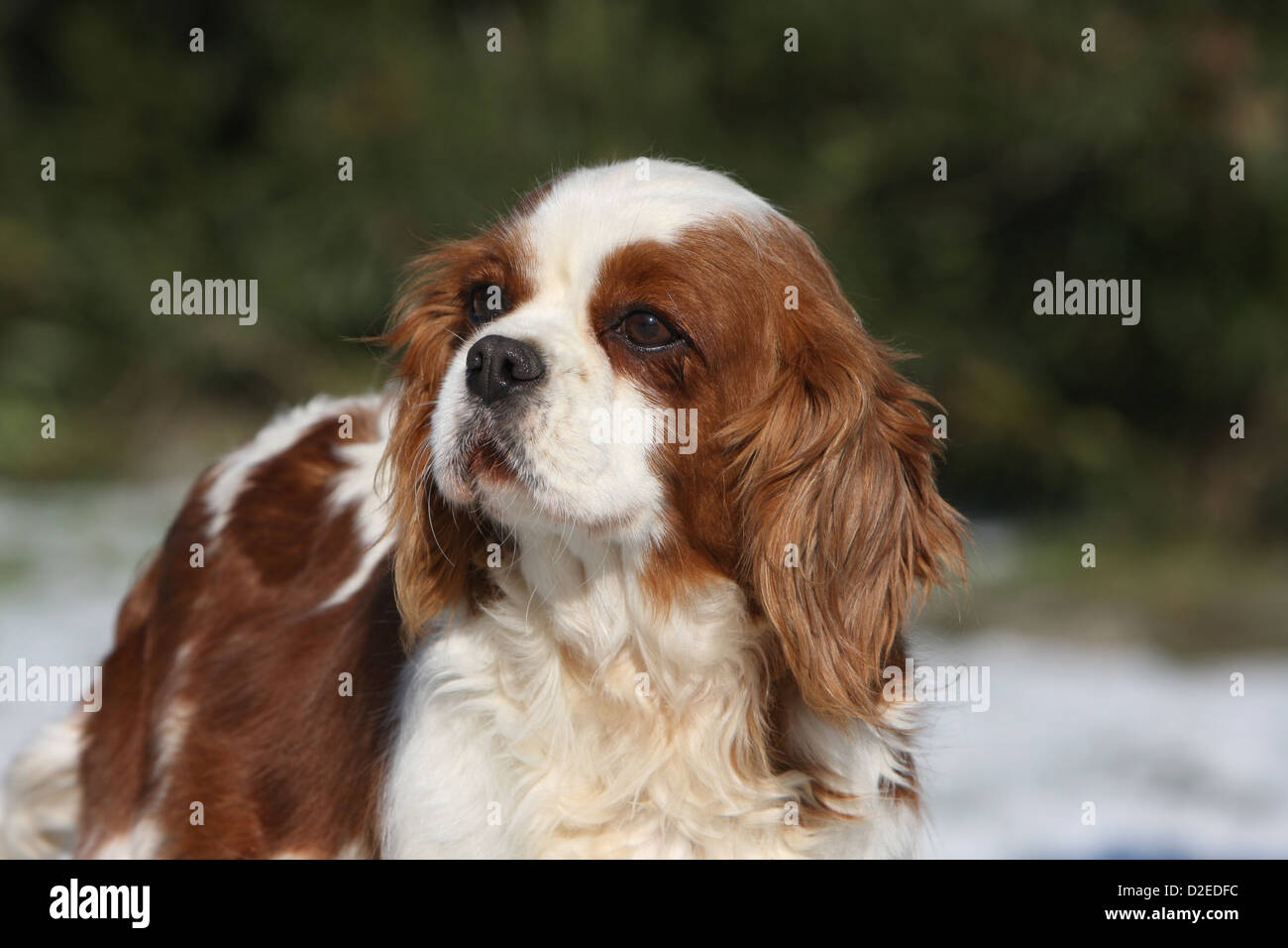 Consider, that sale spaniel adult for are certainly