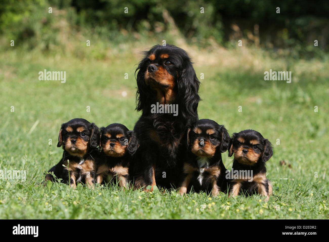 Dog cavalier king charles spaniel adult and four puppies black and dog cavalier king charles spaniel adult and four puppies black and tan sitting in a meadow thecheapjerseys Images