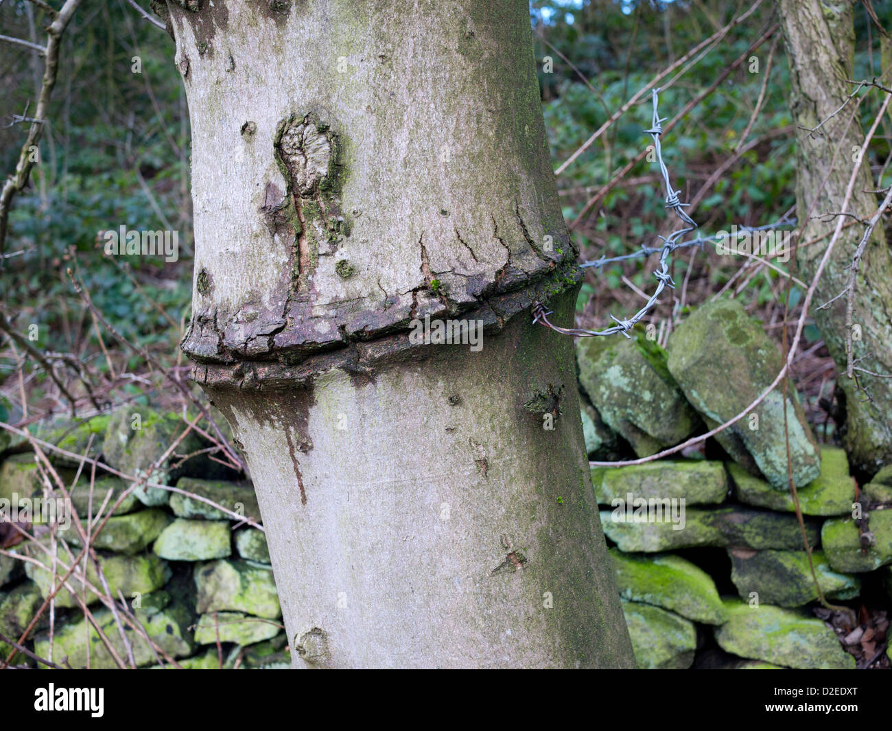 Tree damage due to barbwire being wrapped round tree, England, UK. - Stock Image