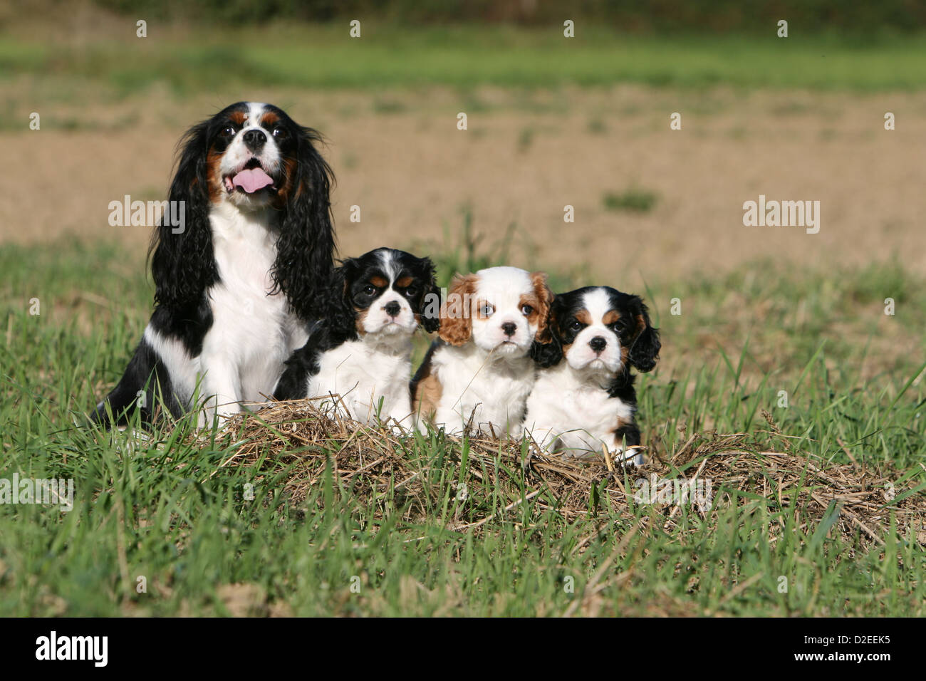 Dog Cavalier King Charles Spaniel adult and three puppies different colors  (tricolor and Blenheim) sitting in a meadow
