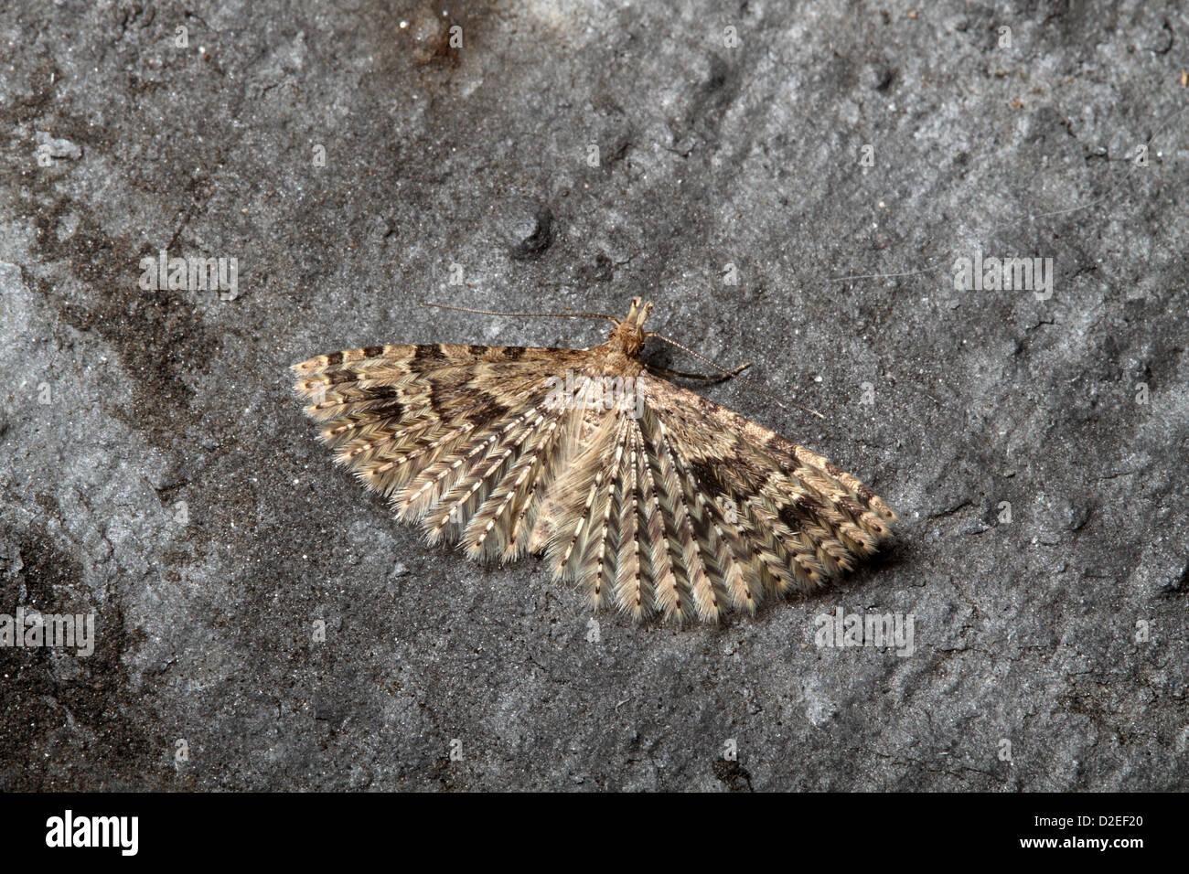 Twenty plumed Moth, Alucita hexadactyla - Stock Image