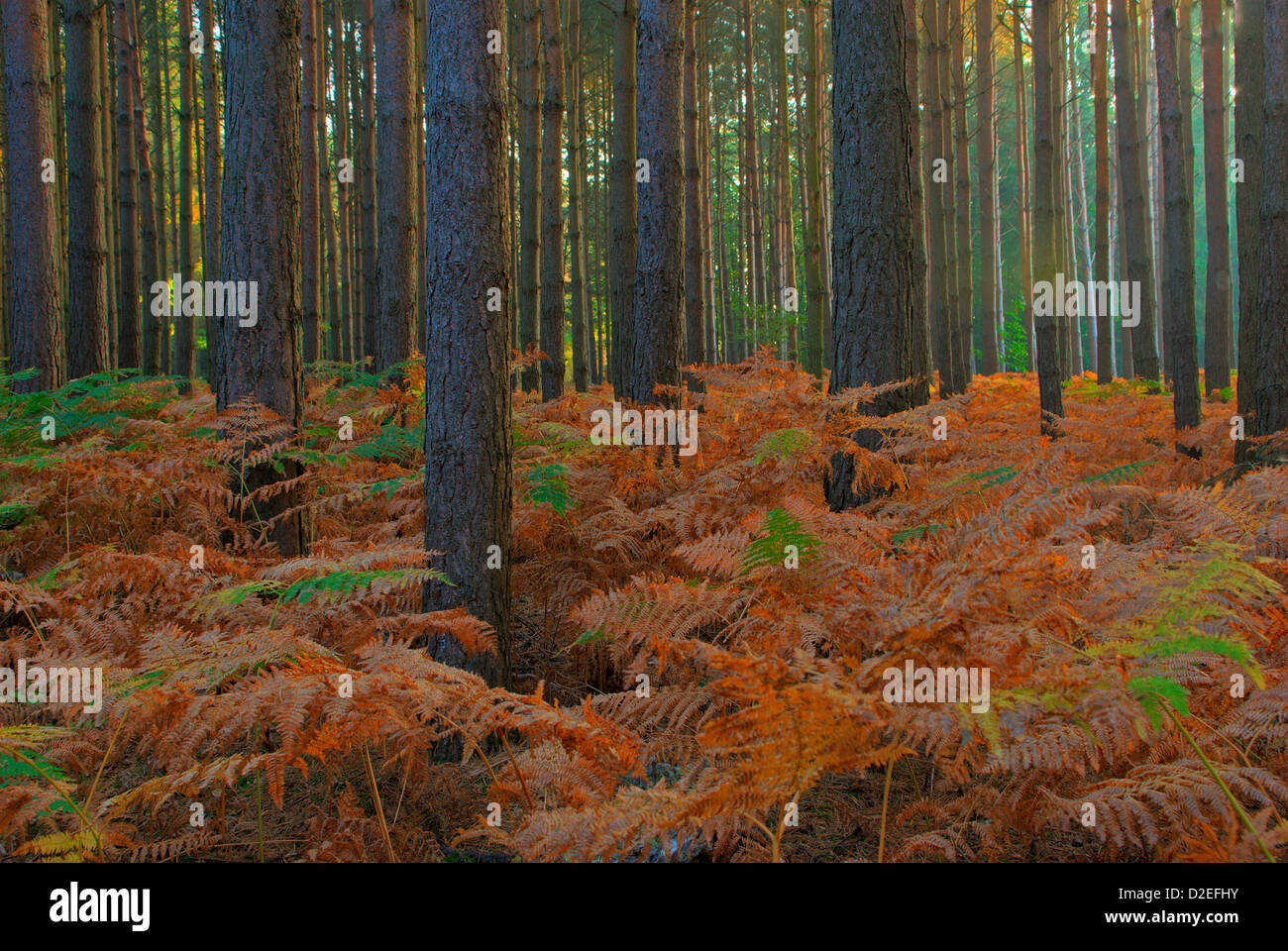 Autumn bracken in pine woods - Stock Image