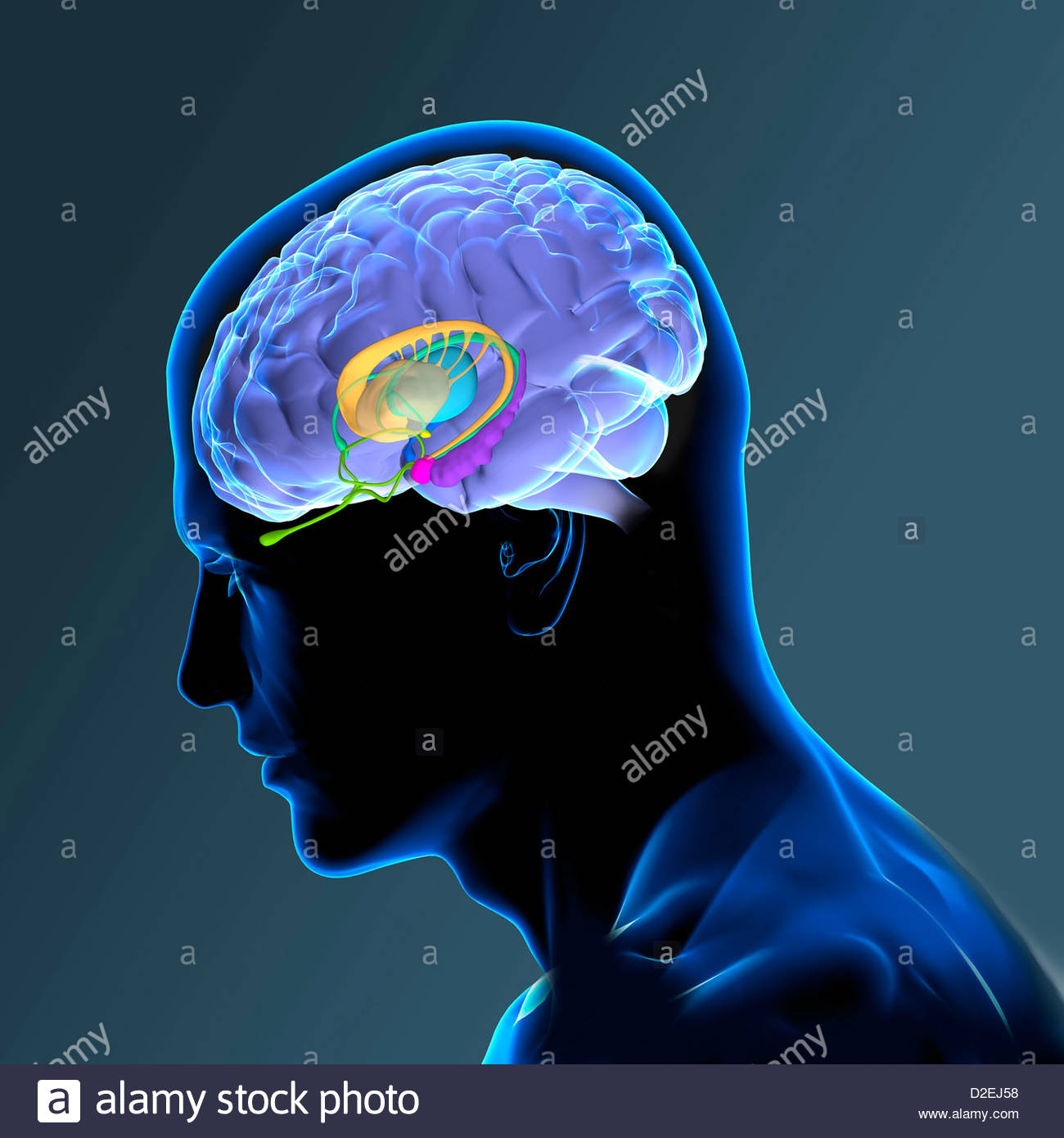 ANATOMY OF THE BRAIN Stock Photo