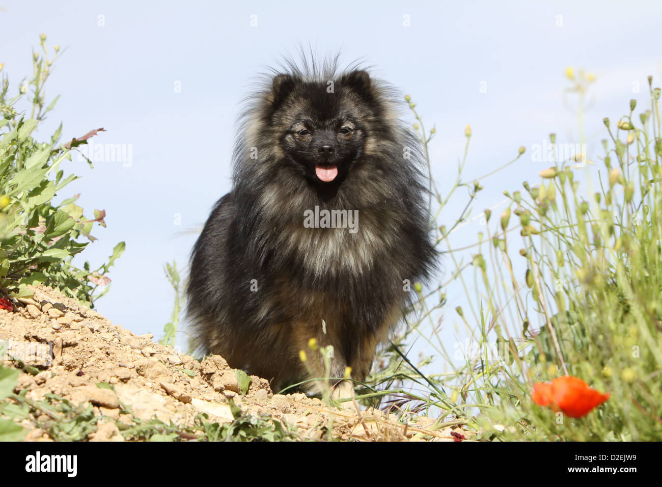 Dog German Spitz Pomeranian Adult Wolf Sable Standing Stock