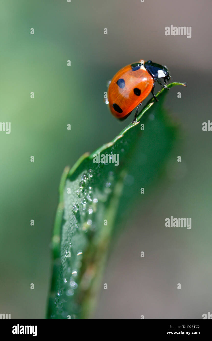 Ladybird at the top of a leave. - Stock Image