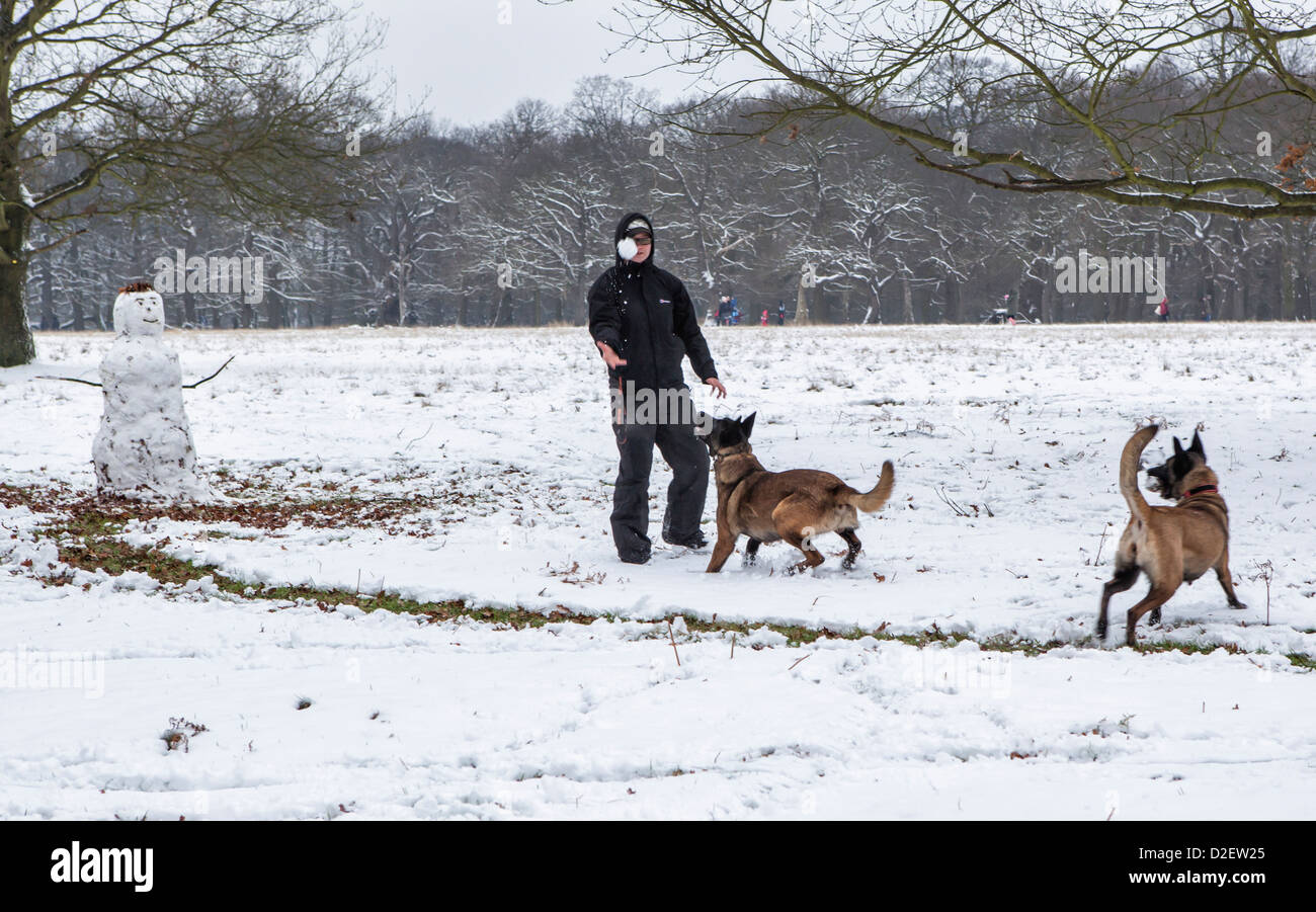 A woman throws a snowball for her dogs to catch in a snow covered Richmond Park, Greater London, Surrey, UK - Stock Image