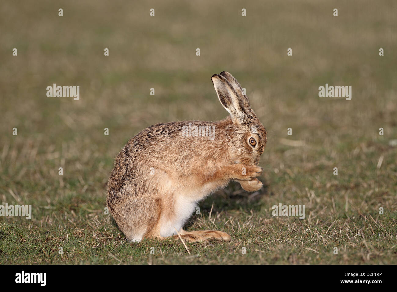Brown Hare, Lepus capensis, cleaning fur - Stock Image