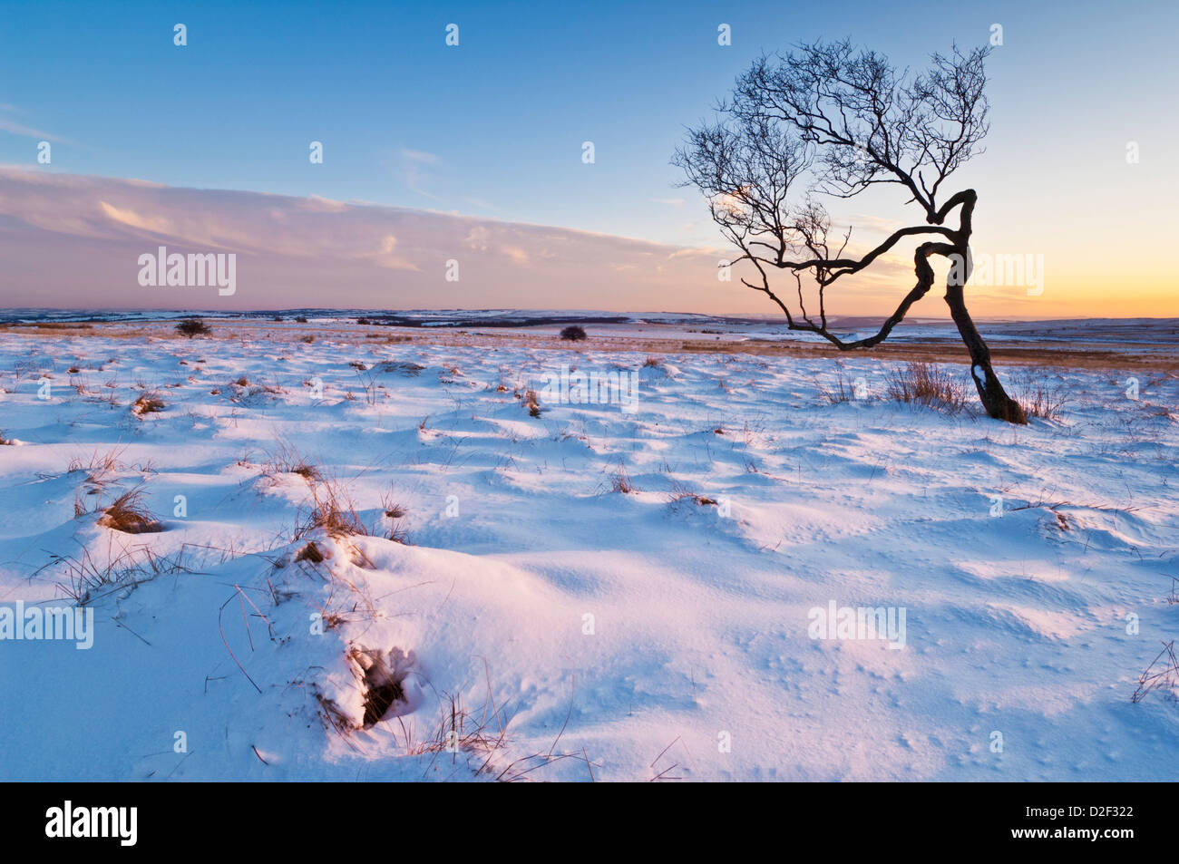 Twisted tree in the snow at sunset, Peak District National Park, Derbyshire, England, United Kingdom, GB EU Europe - Stock Image
