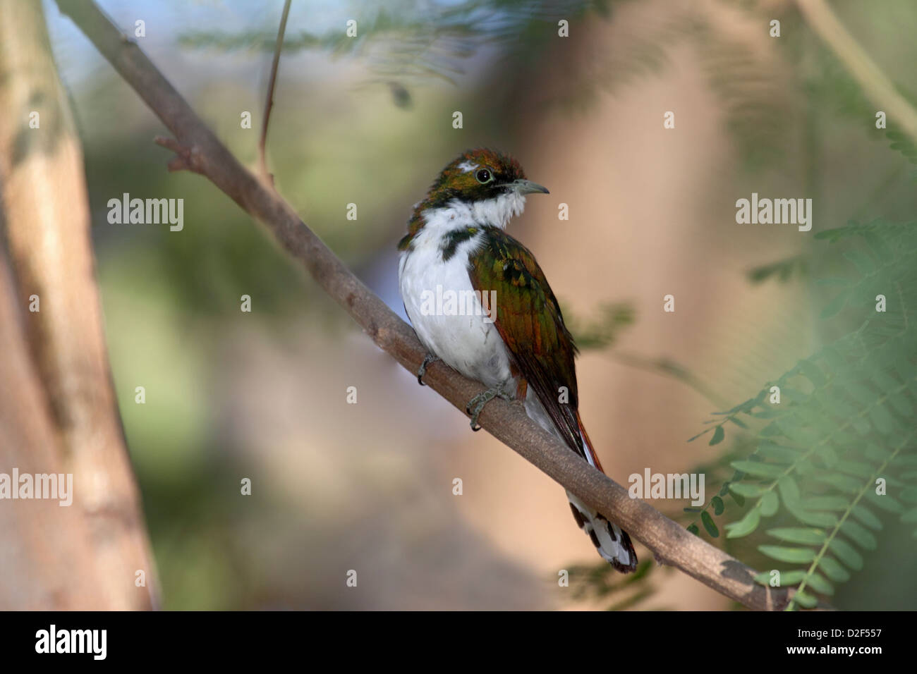 Klaass cuckoo adult male perched in tree in The Gambia - Stock Image