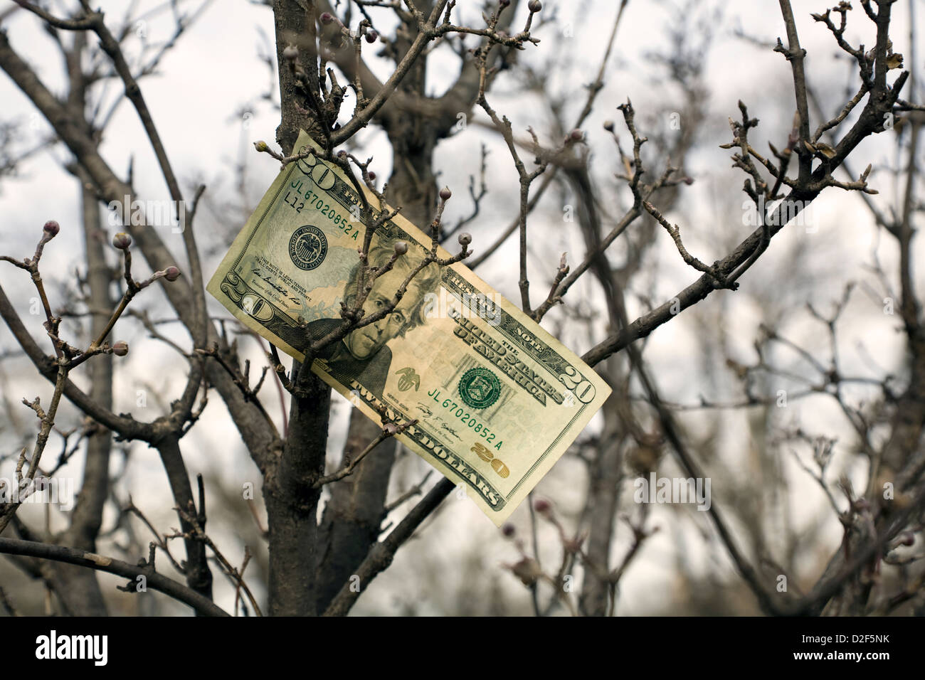 $20 Bank note blown into bare tree branches Stock Photo