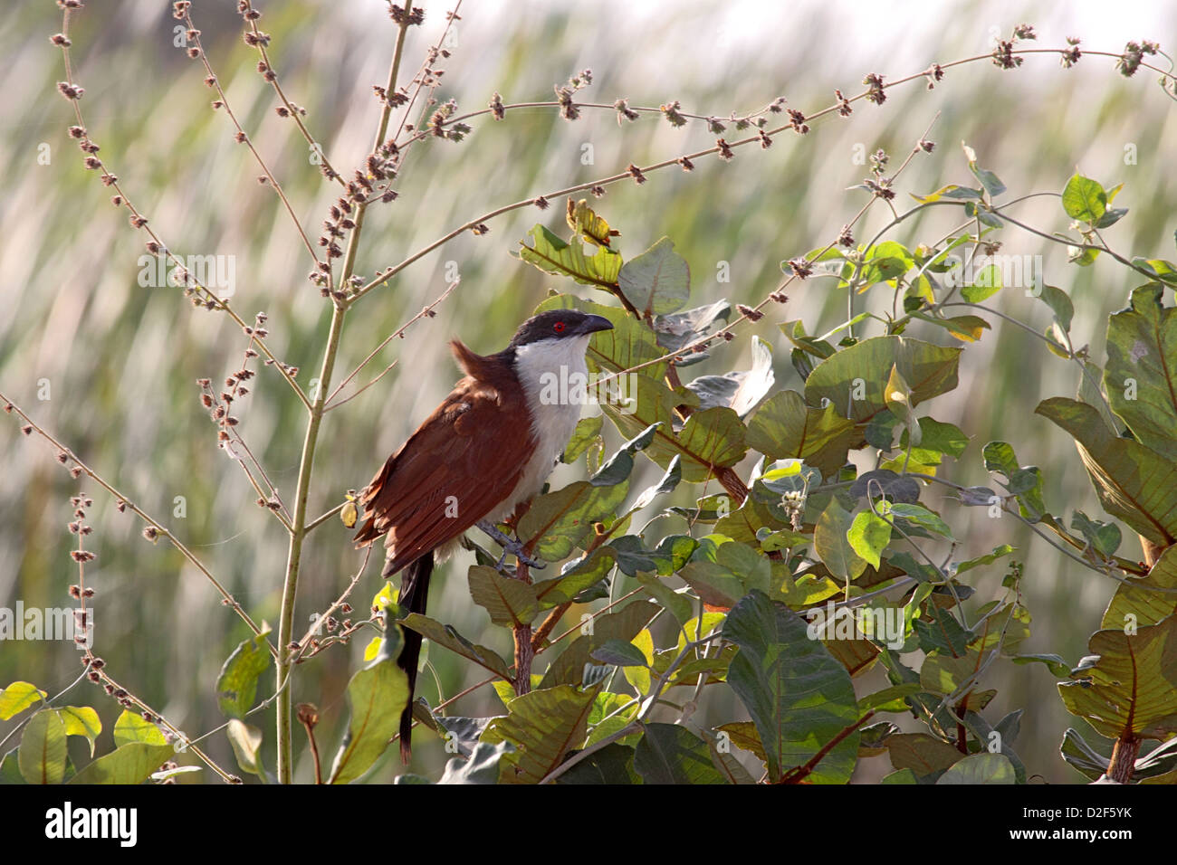 Senegal coucal in tree in The Gambia - Stock Image