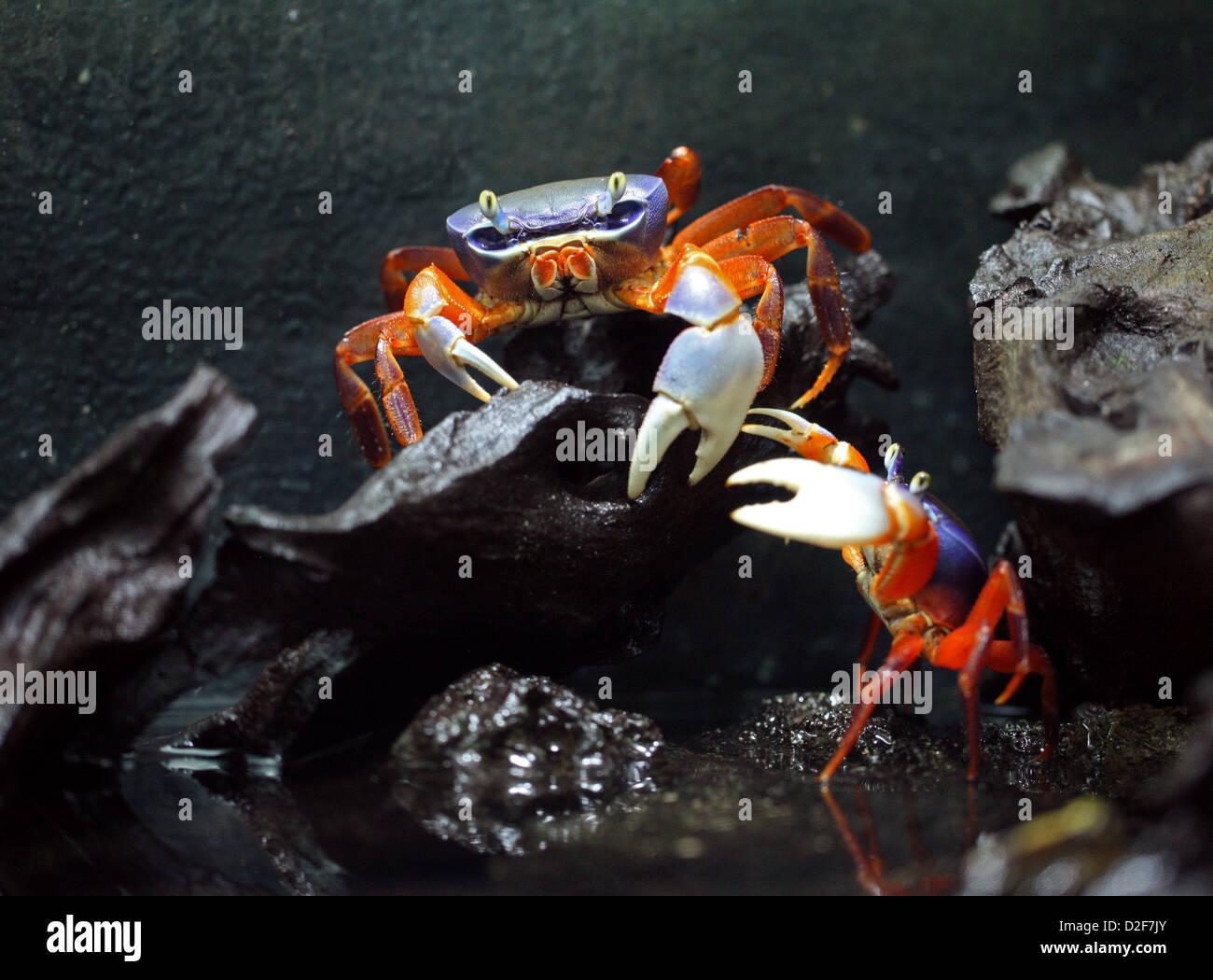 Rainbow Crabs, Potamon anomalus, Potamidae, Crustacea. Nigeria, West Africa. Colourful Freshwater Crabs. - Stock Image