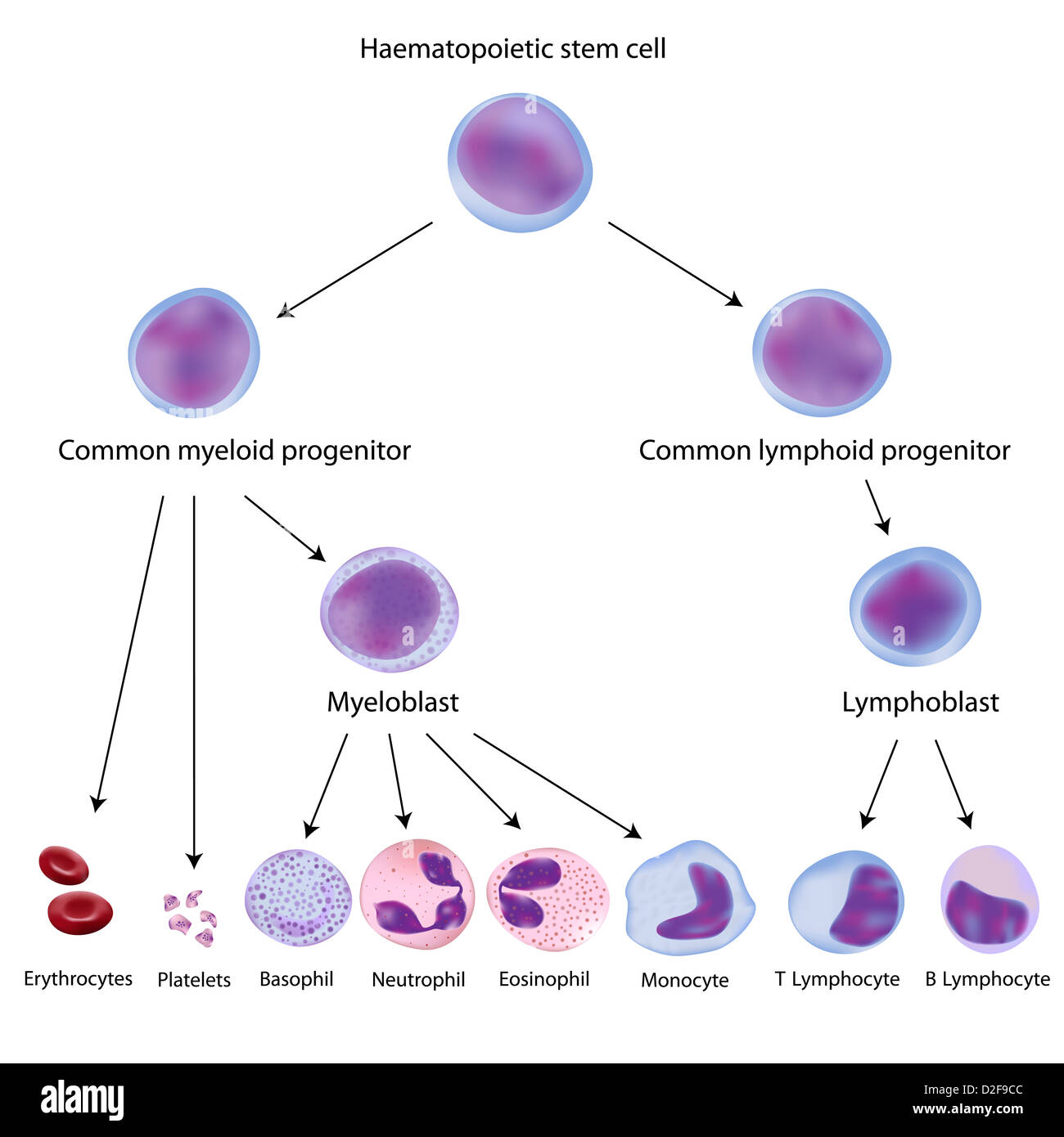 Basophil white blood cell stock photos basophil white blood cell haematopoiesis stock image ccuart Choice Image